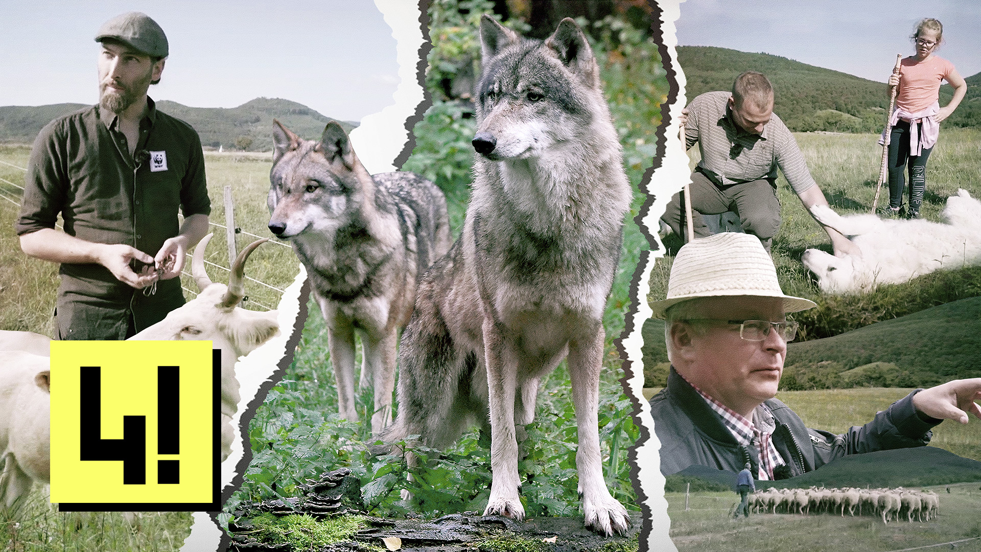 Itt az ideje újra megtanulnunk együtt élni a farkasokkal
