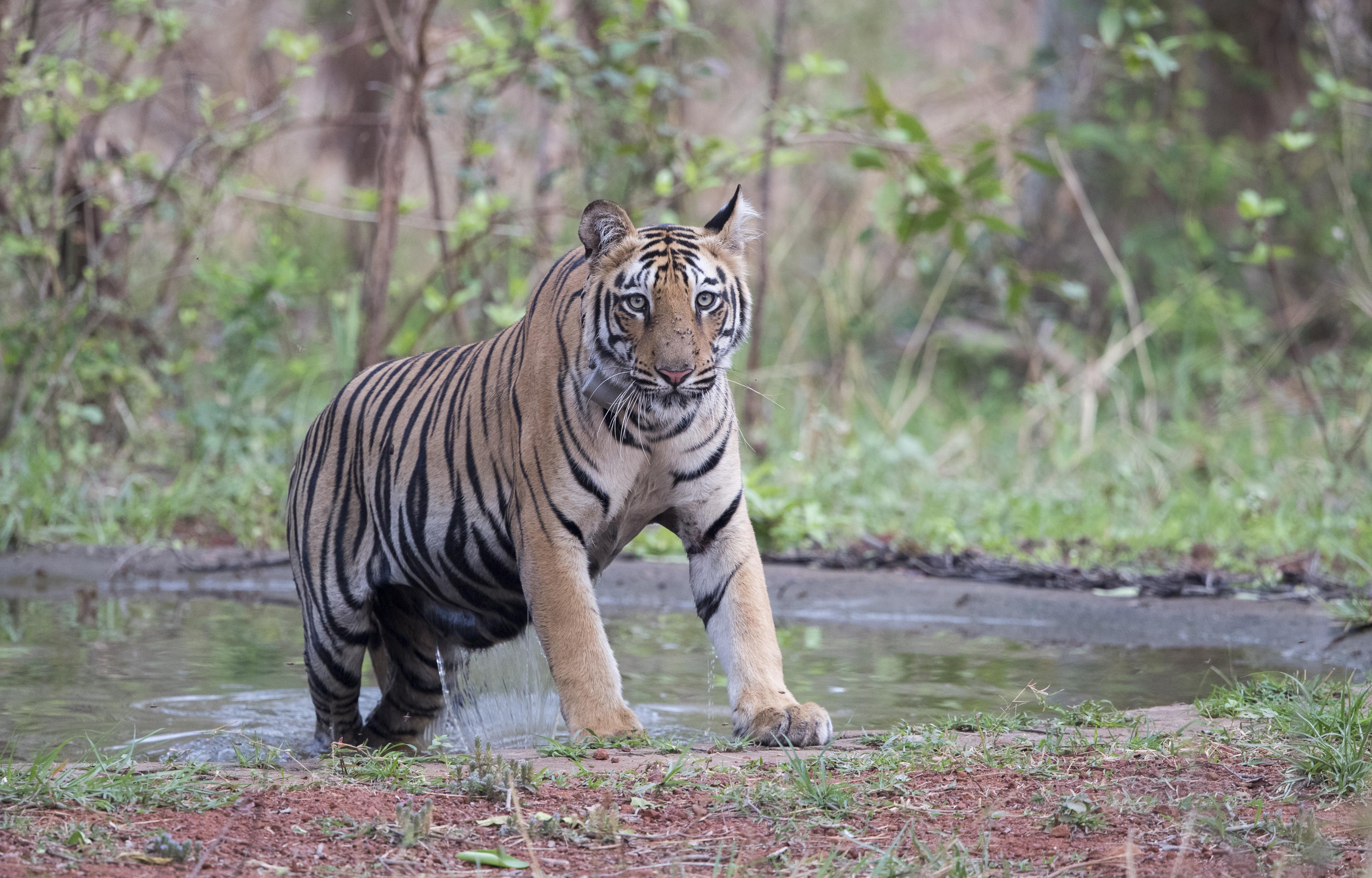 Szokatlan magasságban láttak tigrist Nepálban