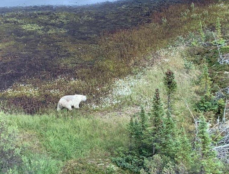 Két gyilkos tinit keres a fél kanadai rendőrség, egyelőre csak egy jegesmedvét találtak