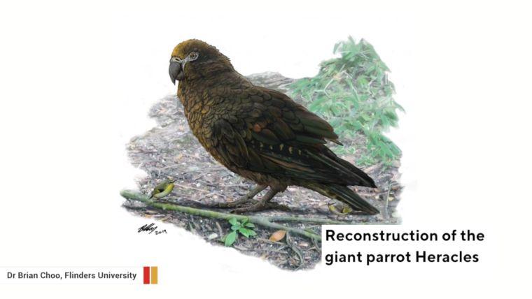 Egyméteres papagáj foszíliáit fedezték fel Új-Zélandon