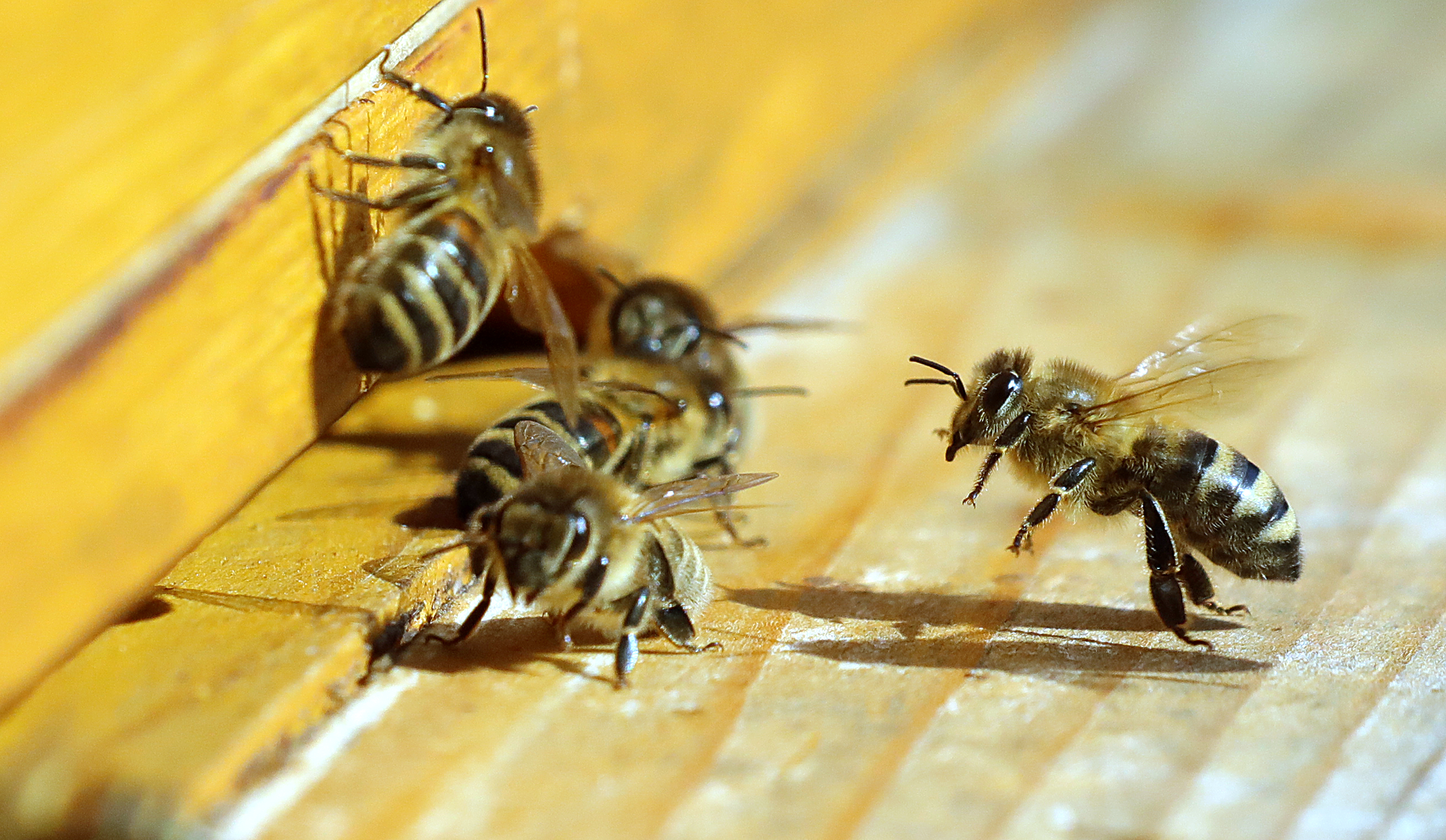 A méhek sokkal fokozottabb védelmét követeli az Európai Parlament
