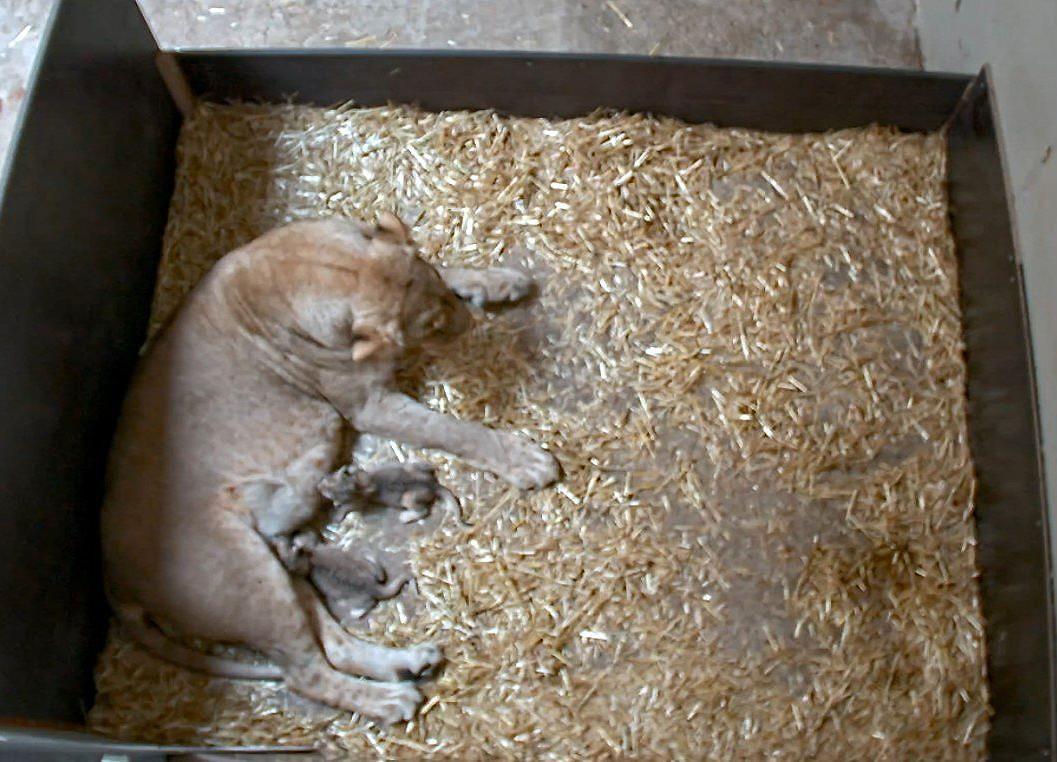 A lipcsei állatkert oroszlánja felfalta a saját kölykeit