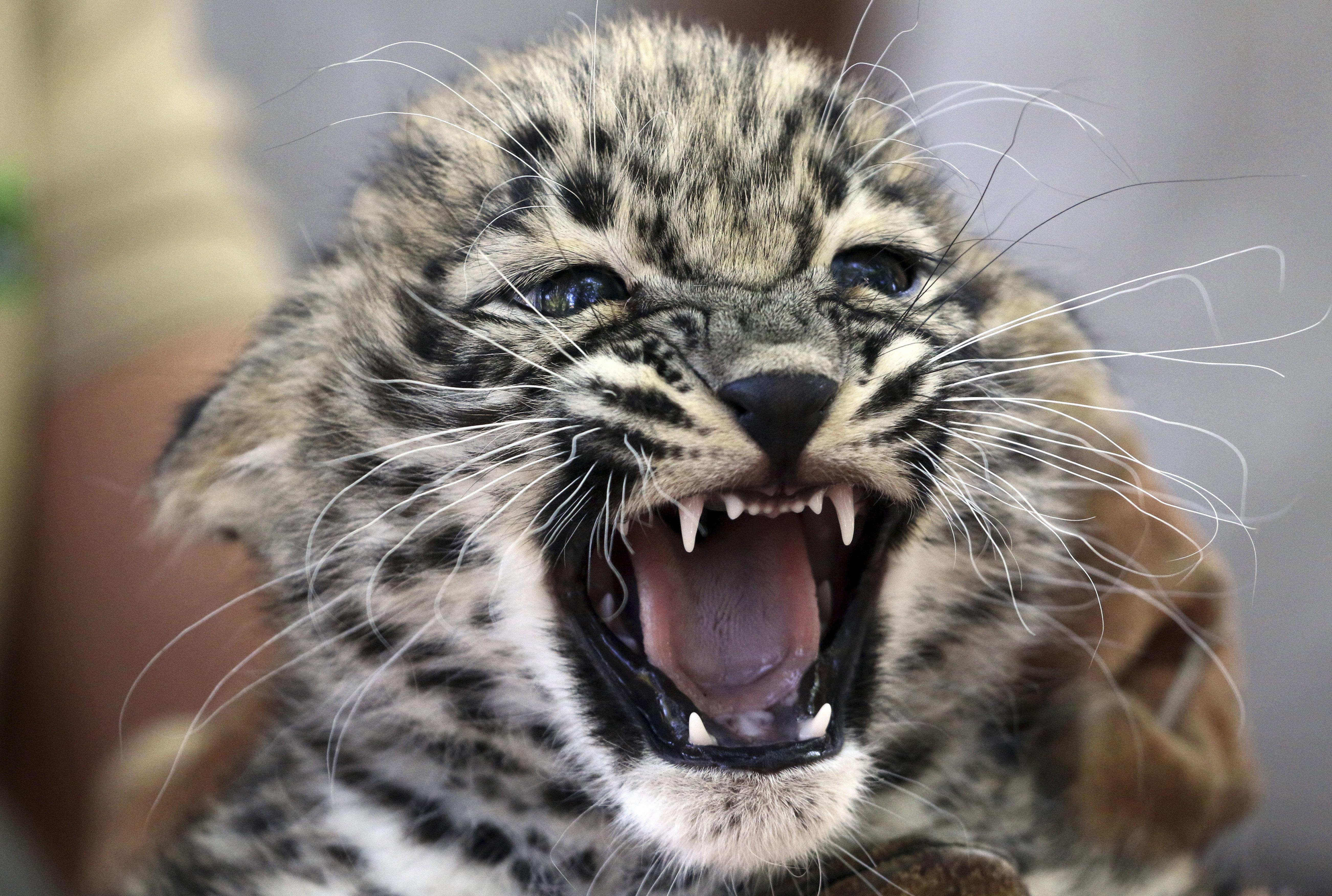Még csak két hónapos, de máris szívből gyűlöli a fotózásokat a miskolci állatkert perzsa leopárdja