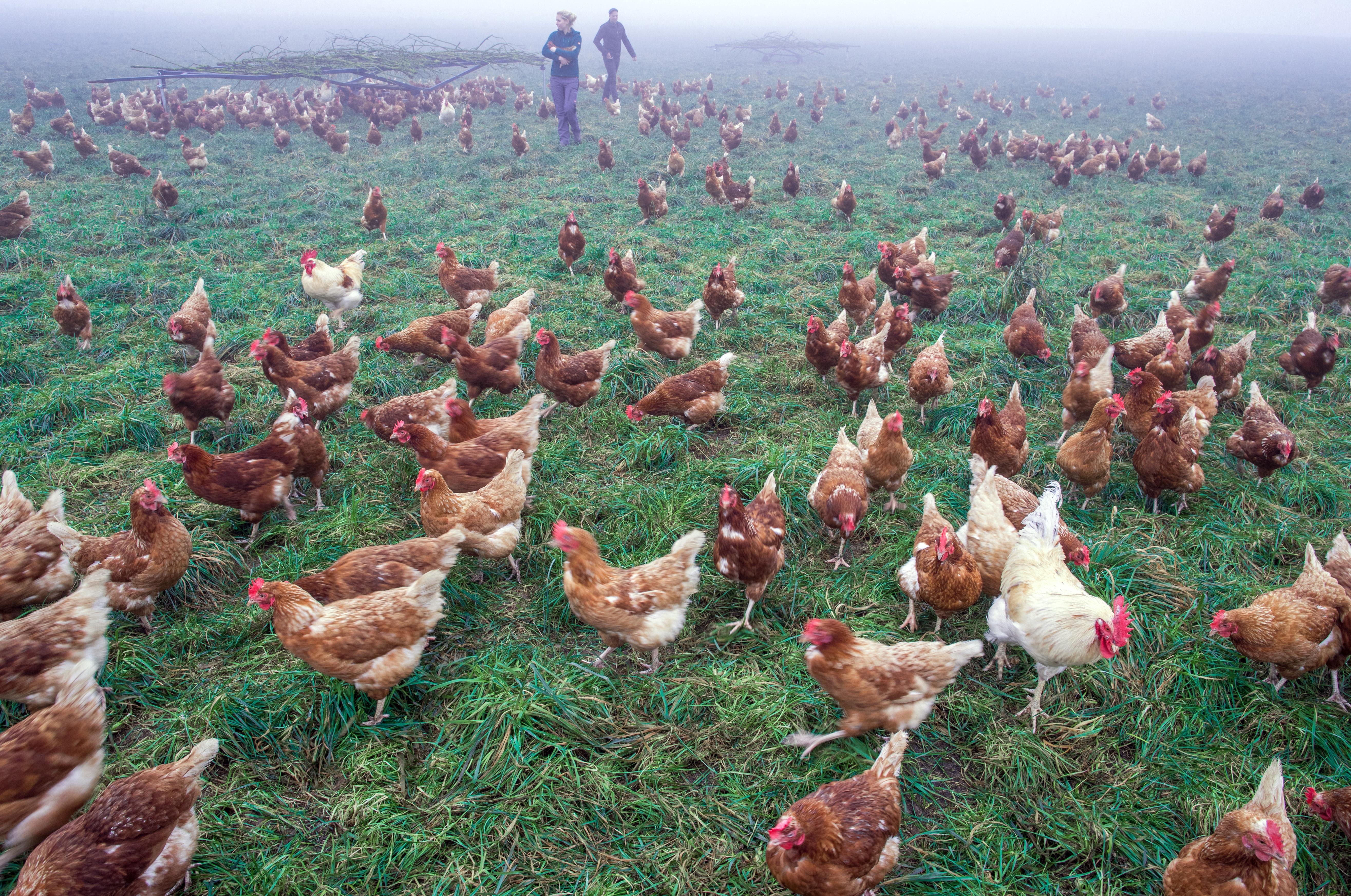 Több mint 100 ezer tojótyúkot vágnak le Kerekegyházán madárinfluenza miatt