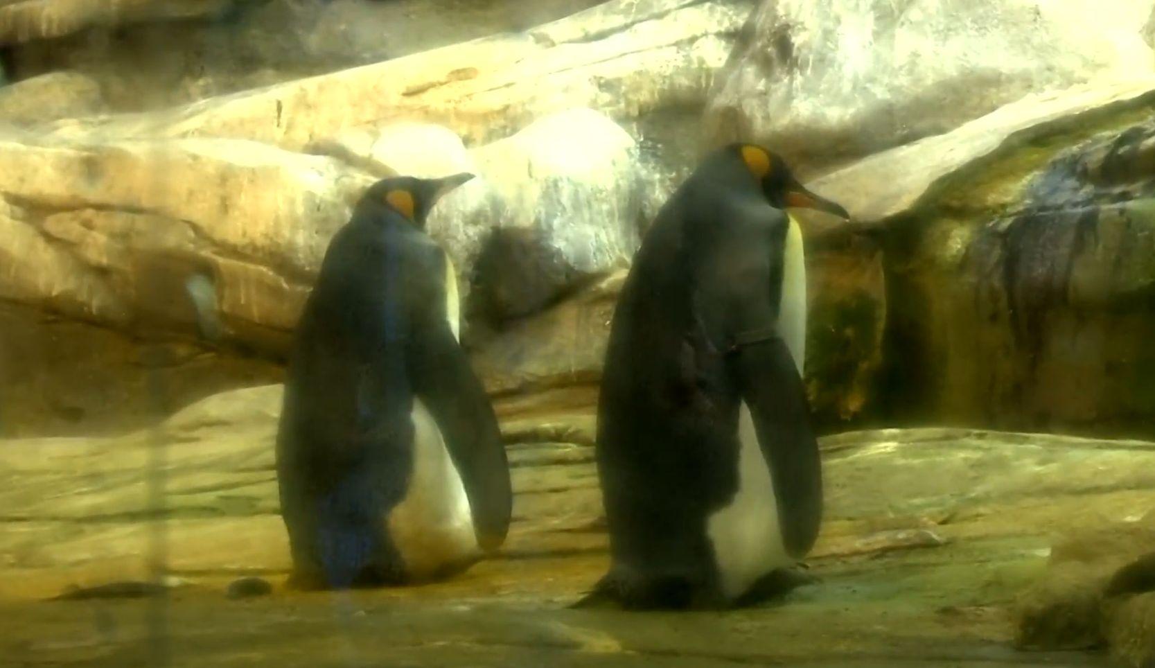 Majd két évtizede nem kelt ki pingvin a berlini állatkertben, de most egy meleg pingvinpár kotlani kezdett