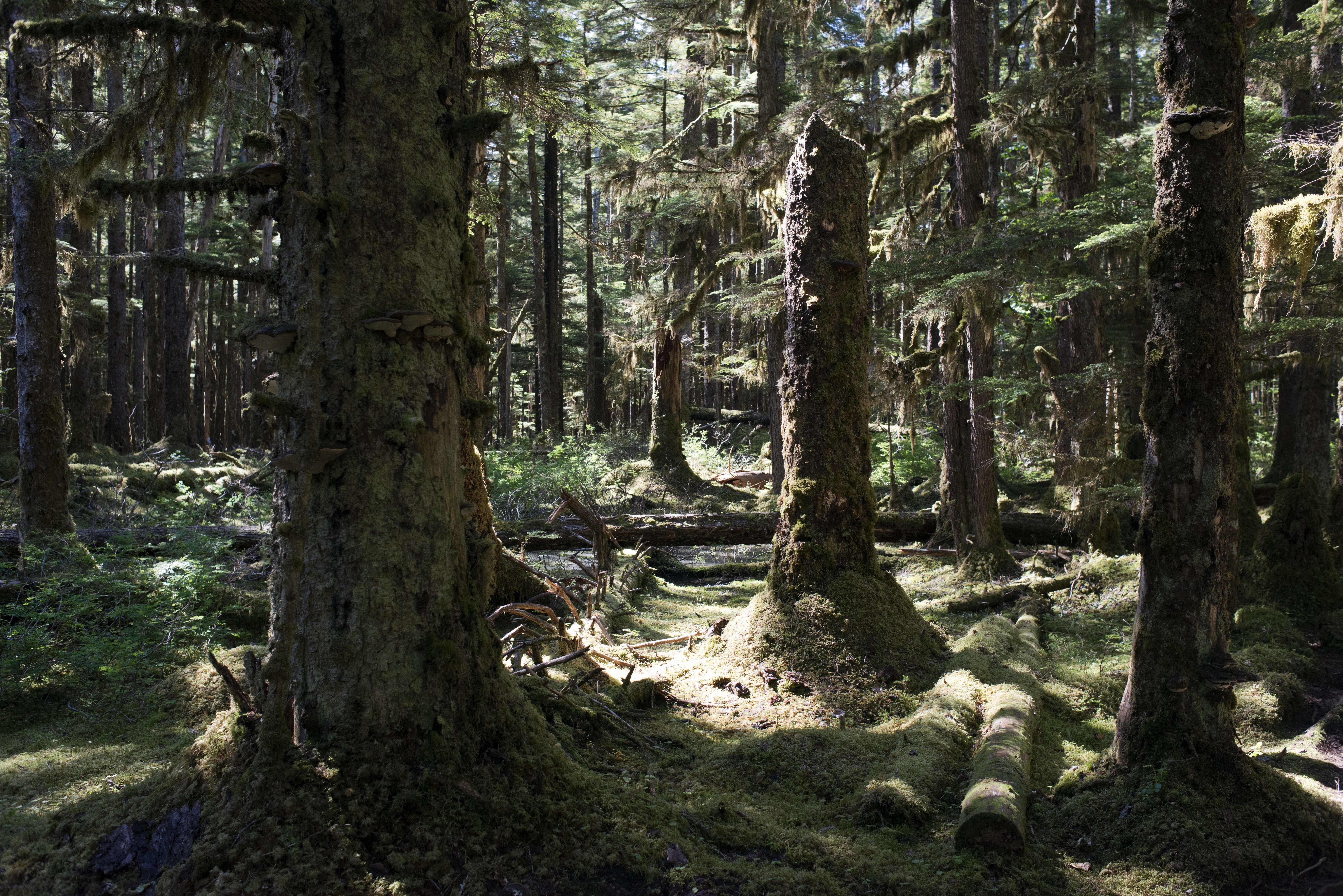 Trump engedélyezné a favágást a világ legnagyobb mérsékelt égövi esőerdejében