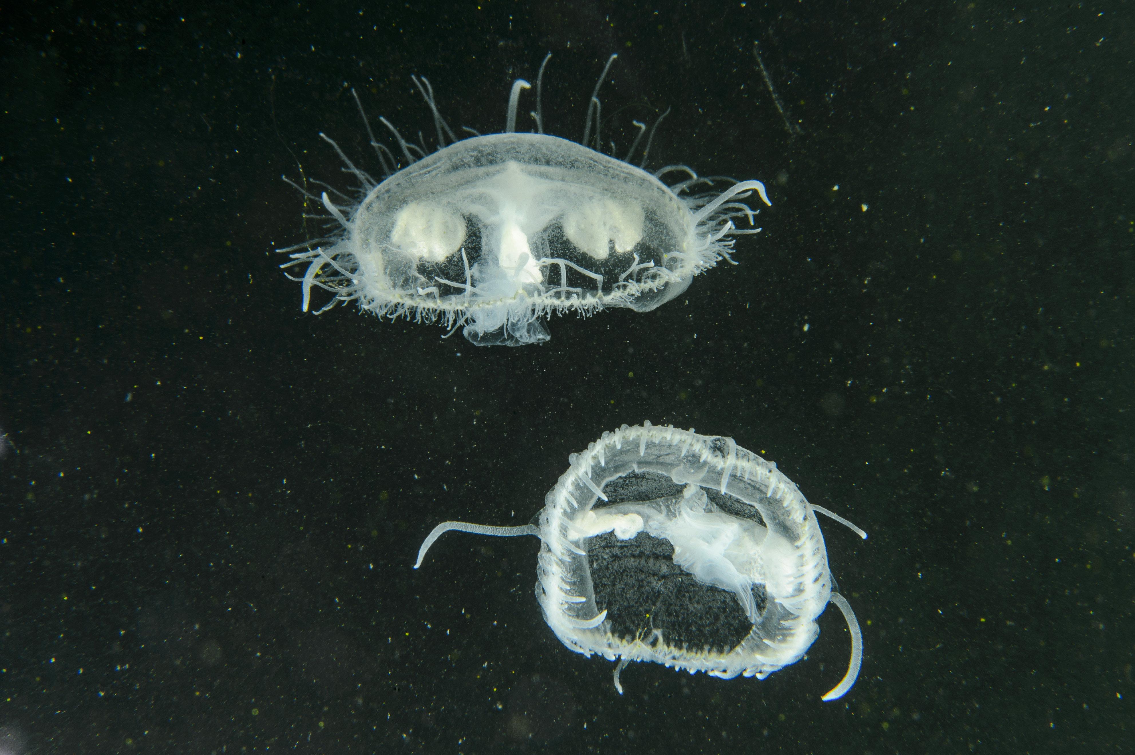 Édesvízi medúzák jelentek meg a salgótarjáni Középbánya-tóban