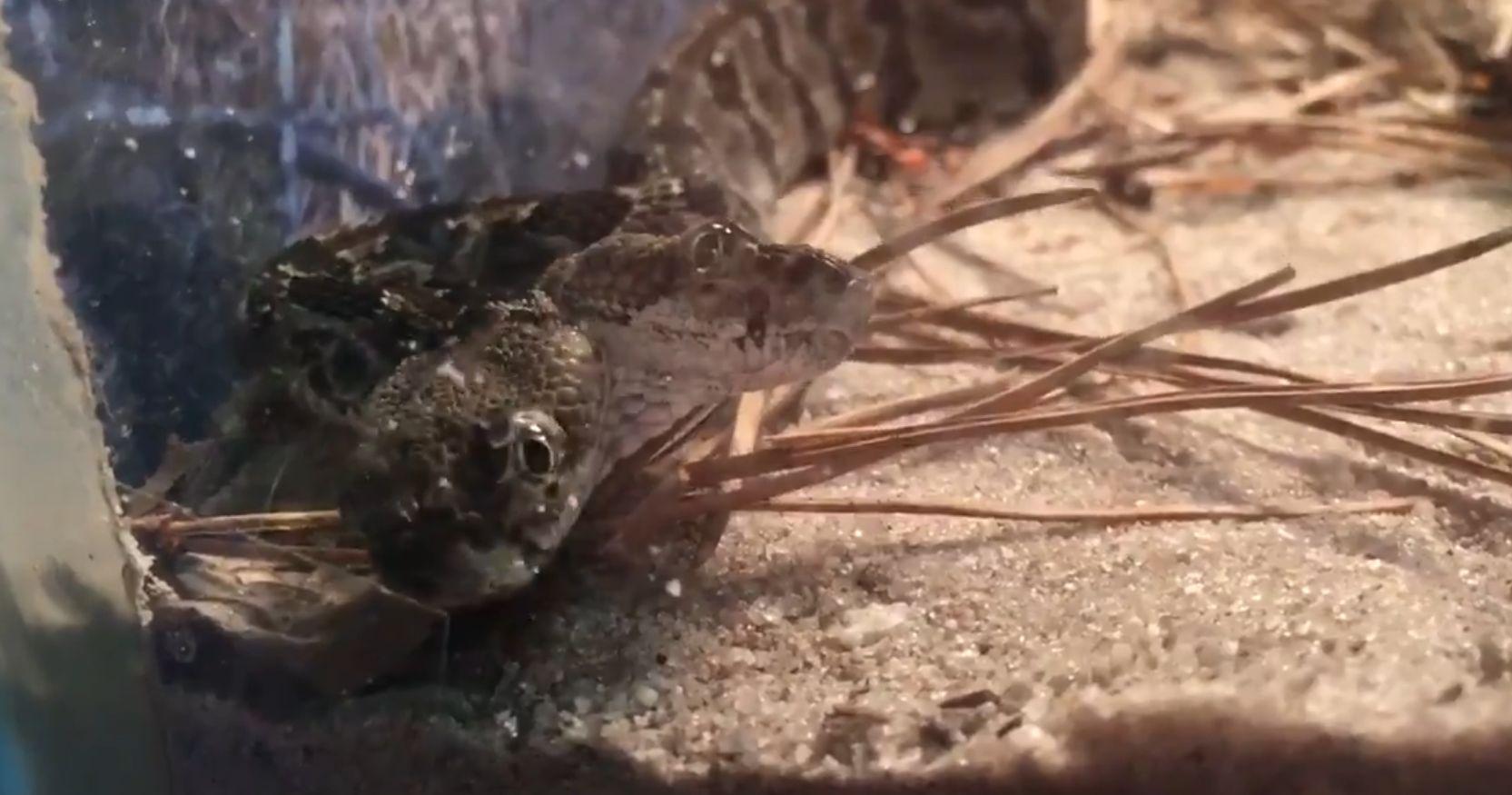 Kétfejű csörgőkígyót találtak New Jersey-ben