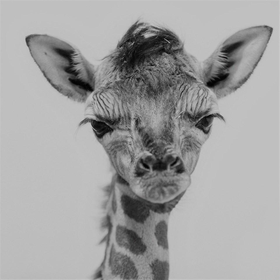 Elpusztult a veszprémi állatkert újszülött zsiráfborja