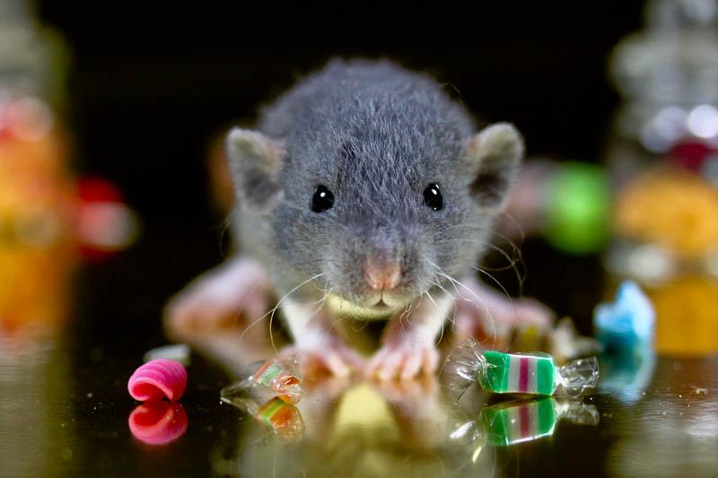 A patkányok imádnak bújócskázni
