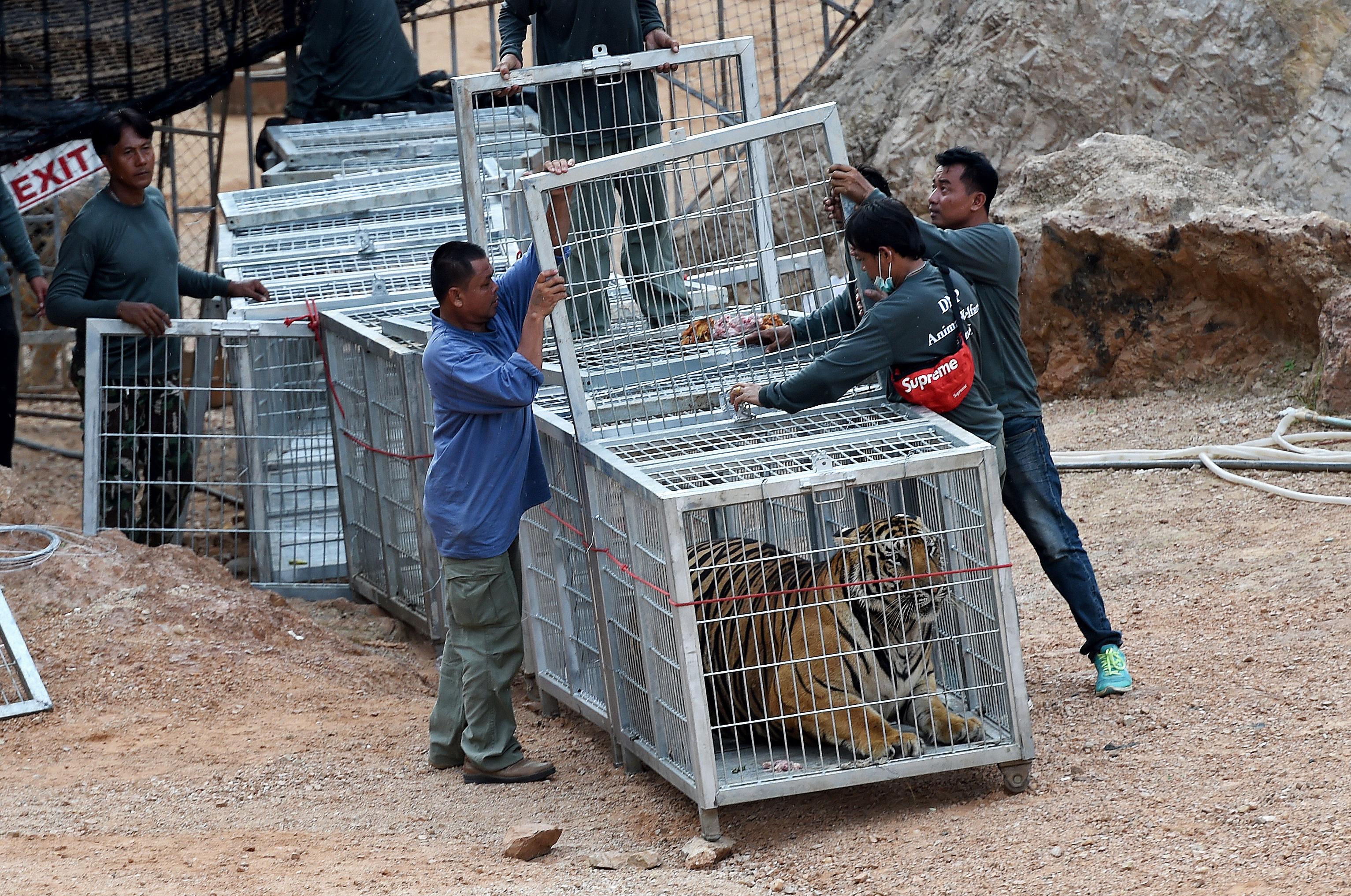 A tigrisek több mint fele belepusztult abba, hogy a thai kormány megmentette őket