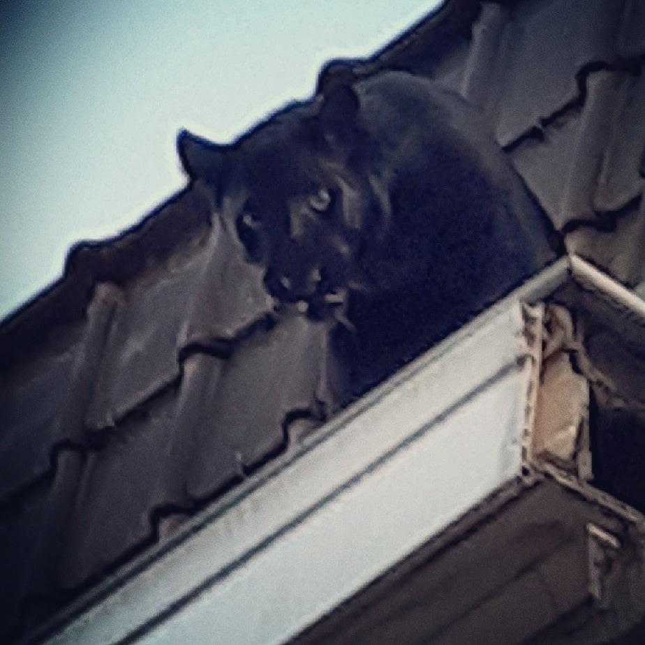 Elszabadult egy háziállatként tartott fekete párduc egy észak-franciaországi városban