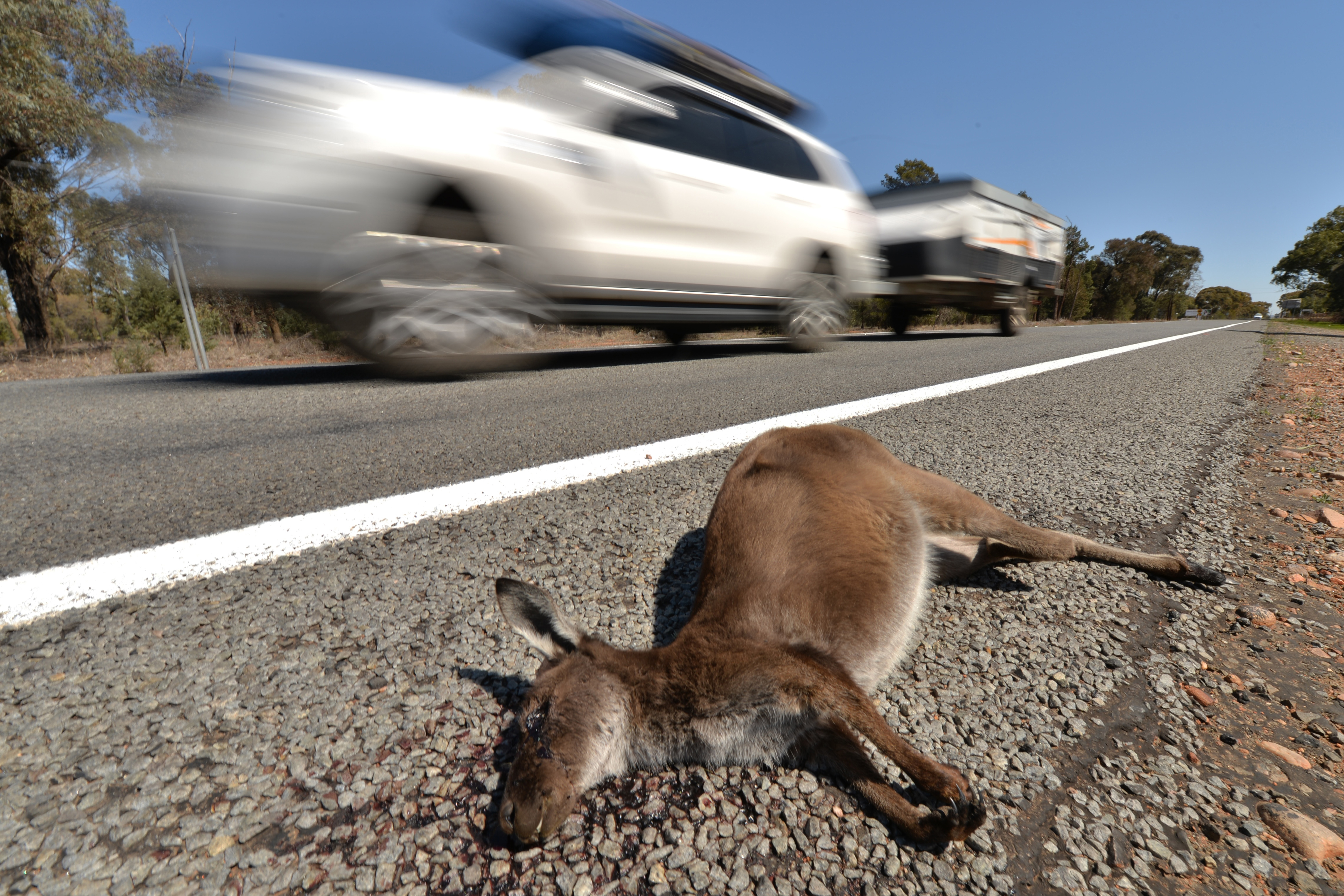 20 kengurut kaszált el kisbuszával egy megvadult ausztrál tinédzser