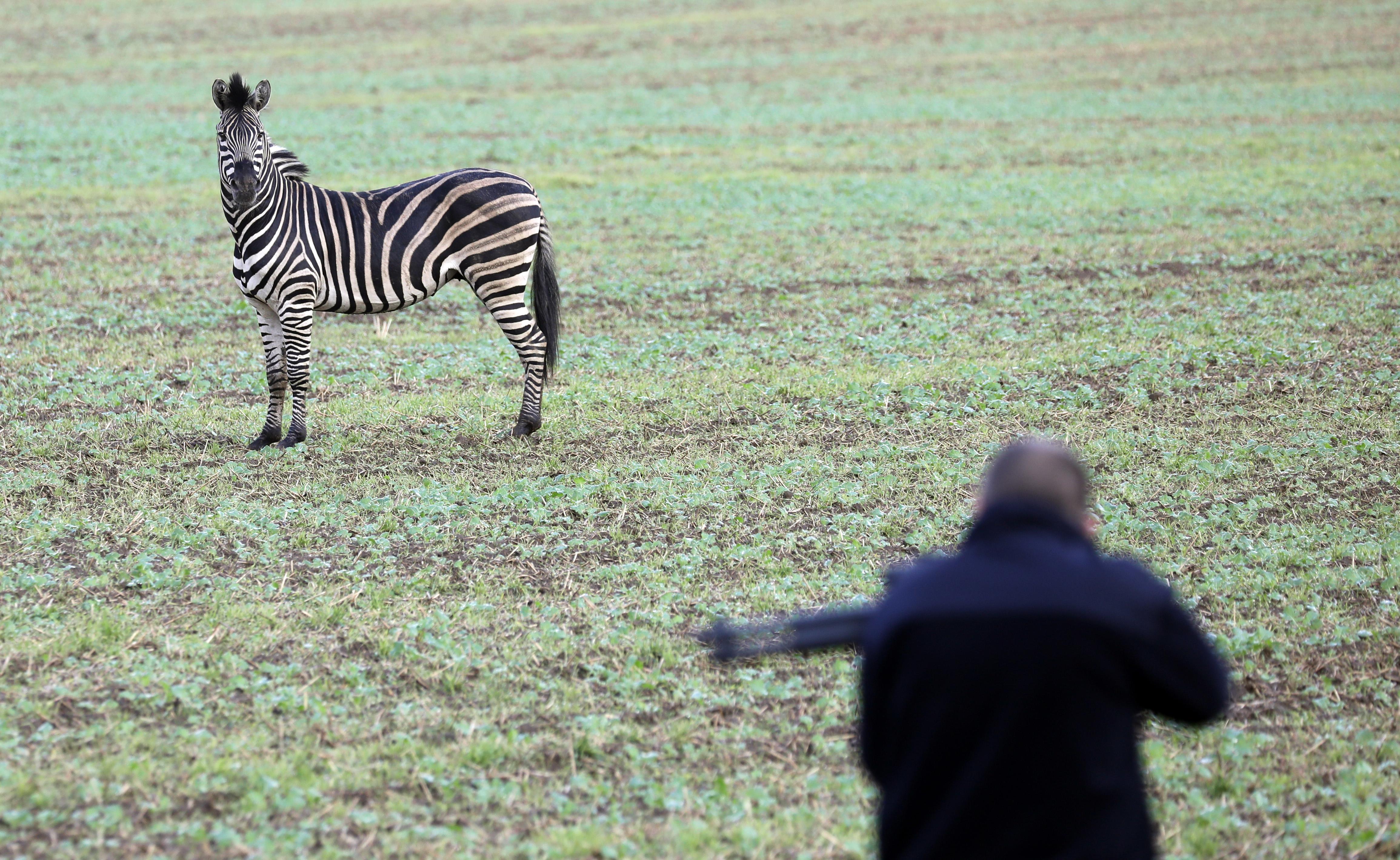 Egy szökött cirkuszi zebra balesetet okozott egy német autópályán