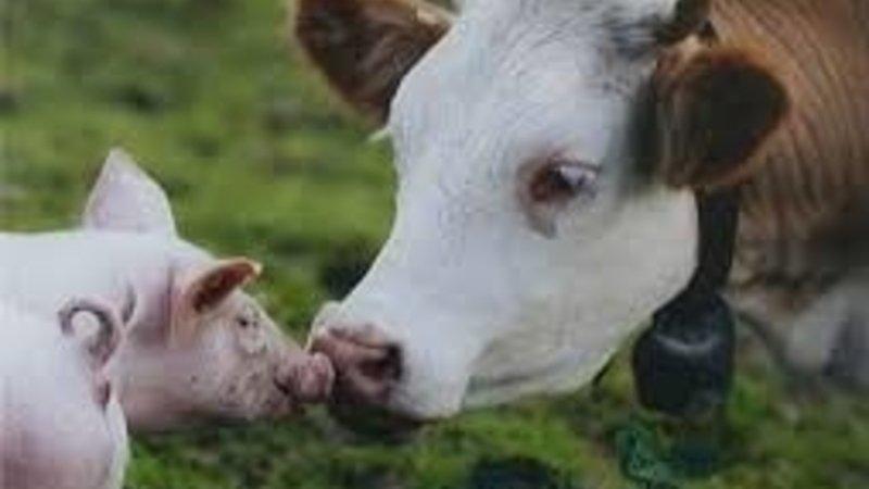 Évekig drágulhat a sertéshús a pestis miatt, az sem kizárt, hogy lekörözi a marhát