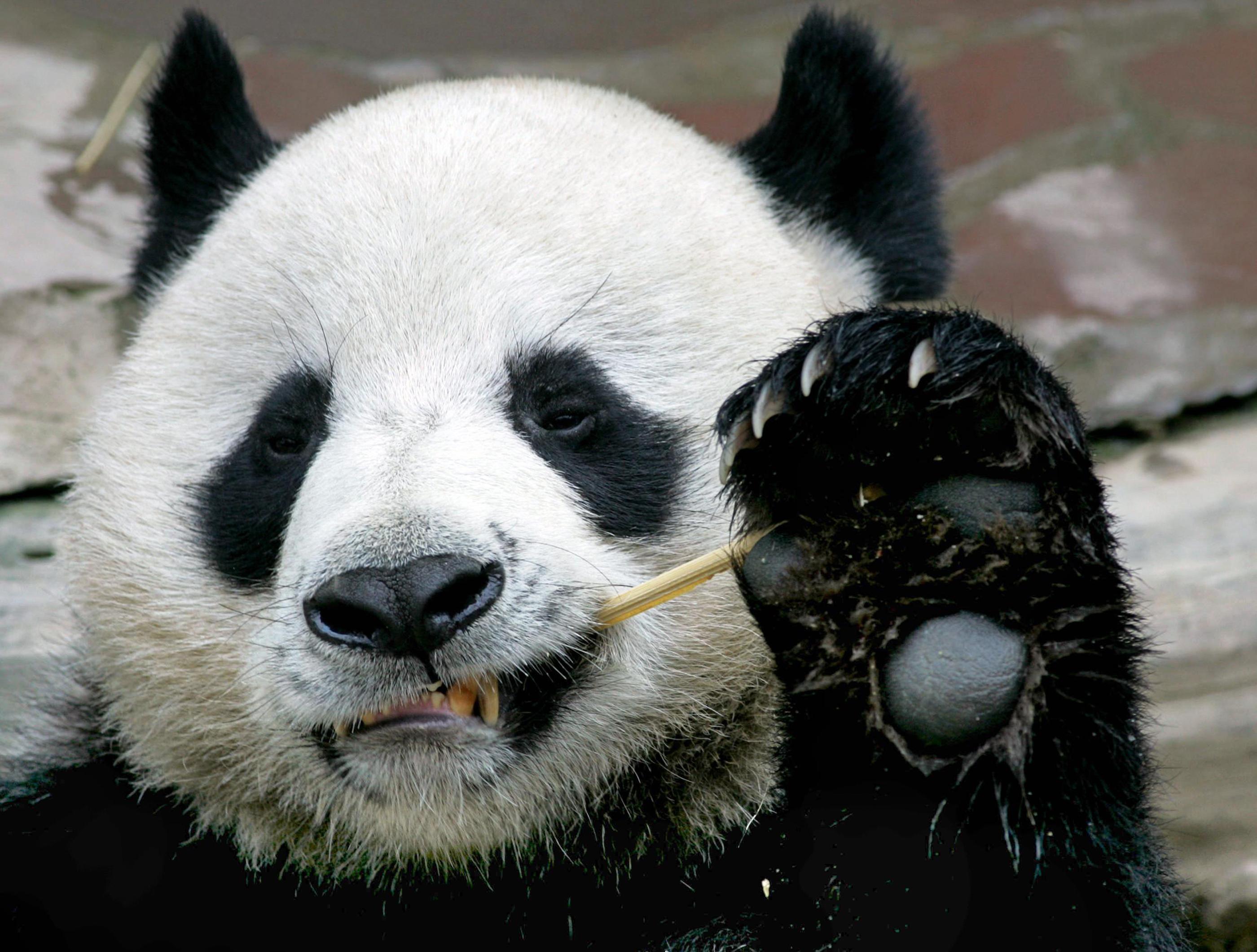 Meglépett egy panda a koppenhágai állatkertből