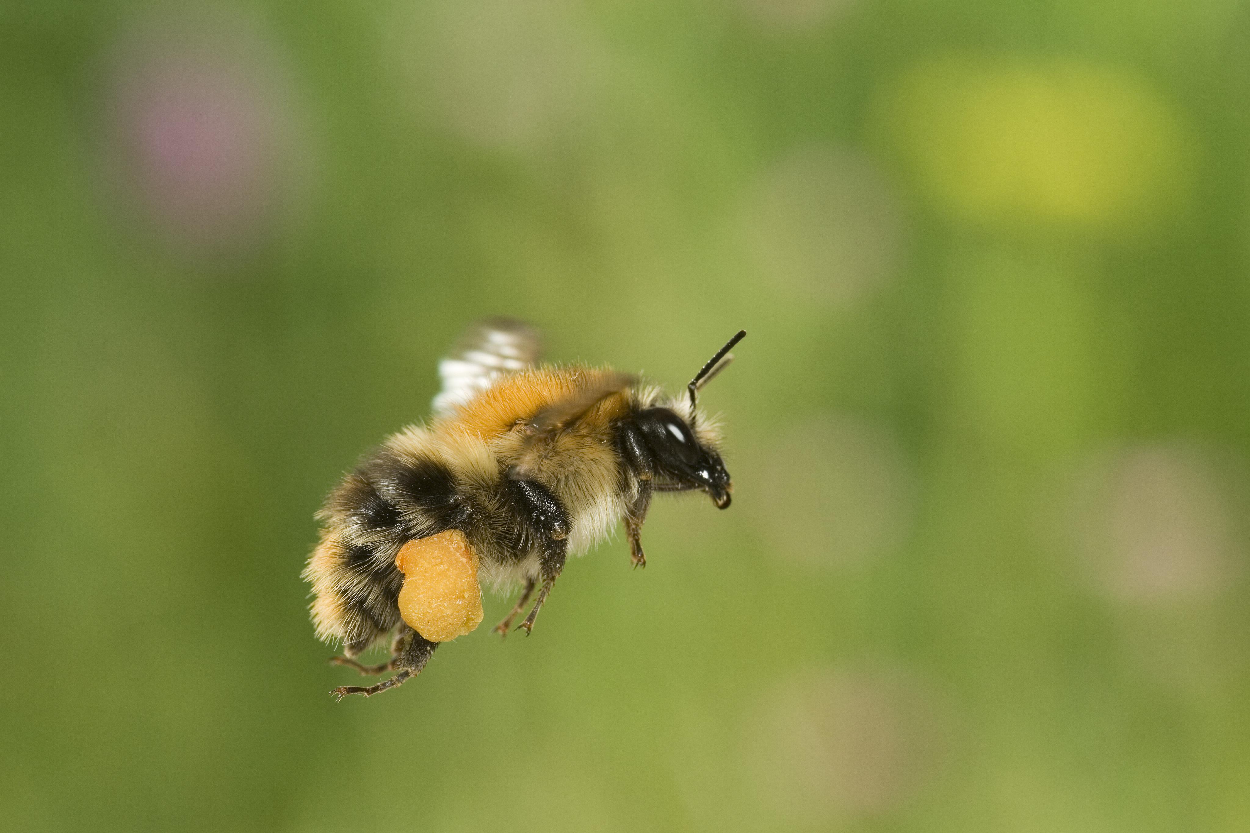 Évtizedeken belül kihalhat a poszméhek több faja is
