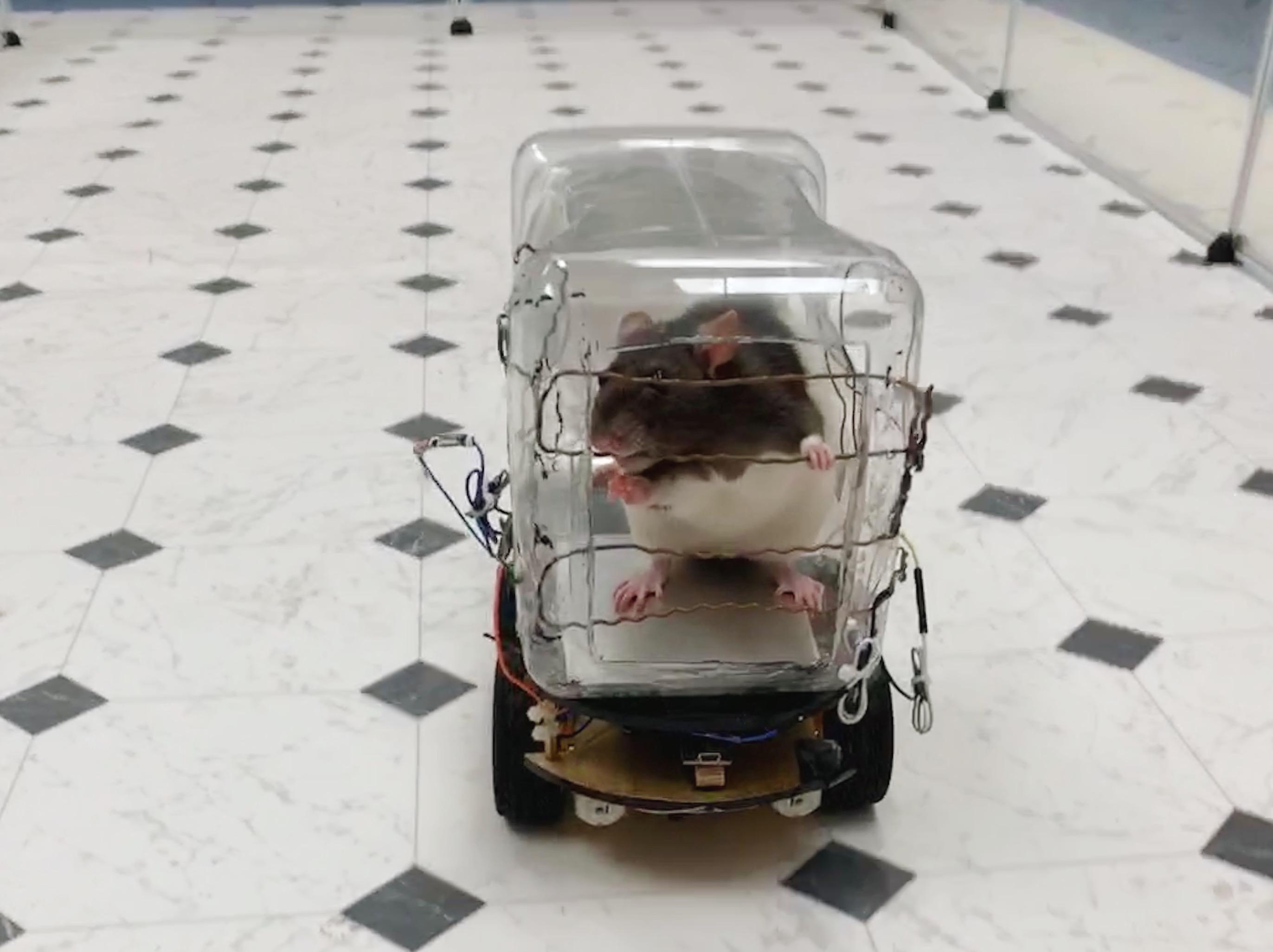 Elégedetté teszi a patkányokat, ha megtanulnak autót vezetni