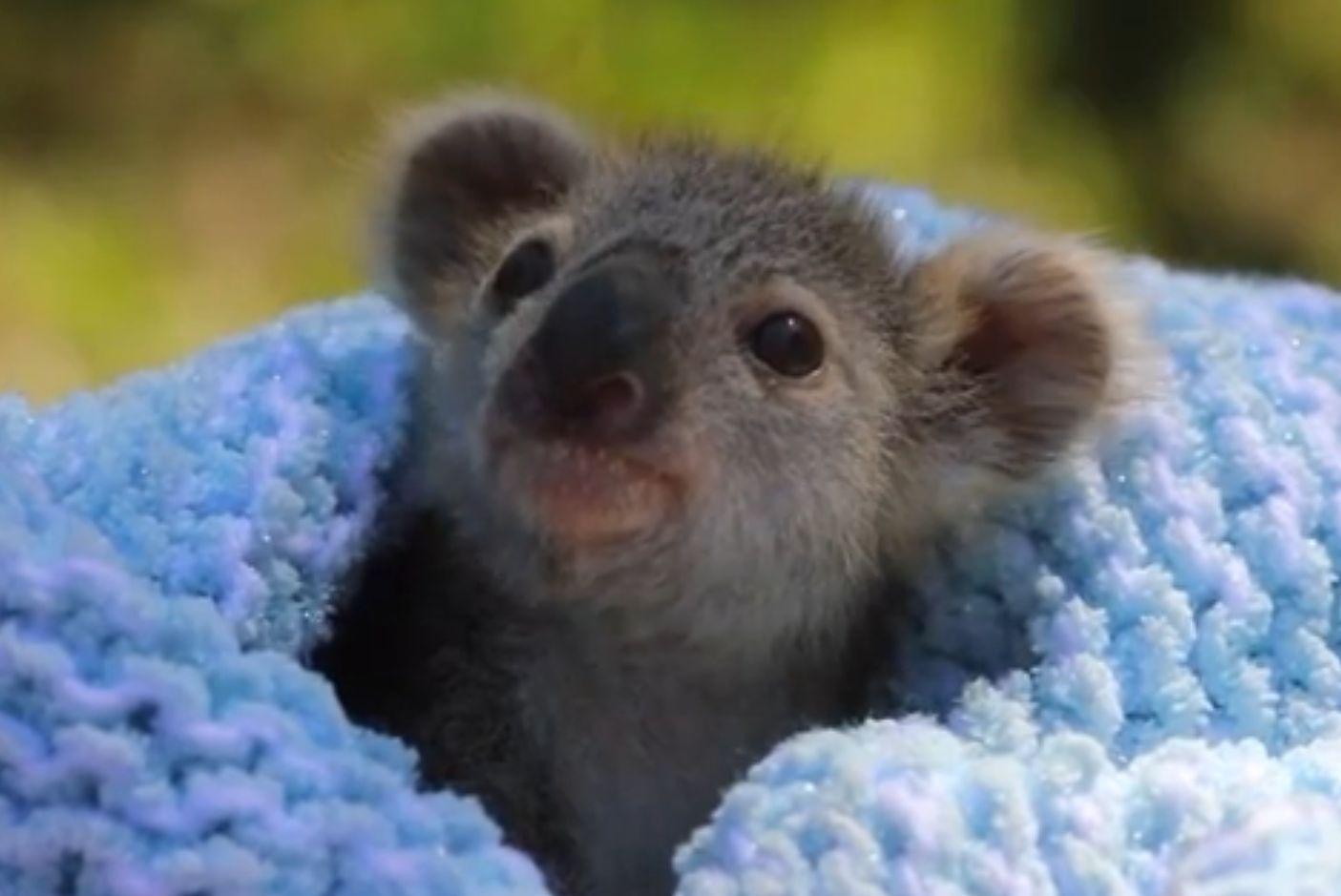 Még reggel kilenc sincs, ébredezéshez nézzenek koalabébit!