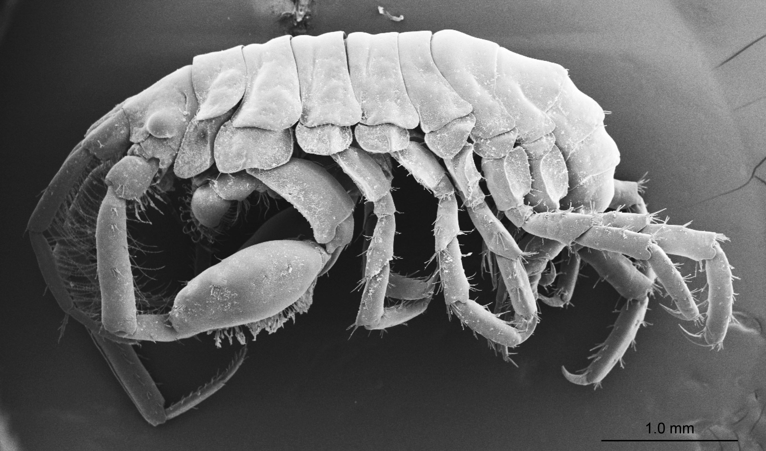 A cetcápák szájában élő, eddig ismeretlen rákfajt fedeztek fel japán kutatók
