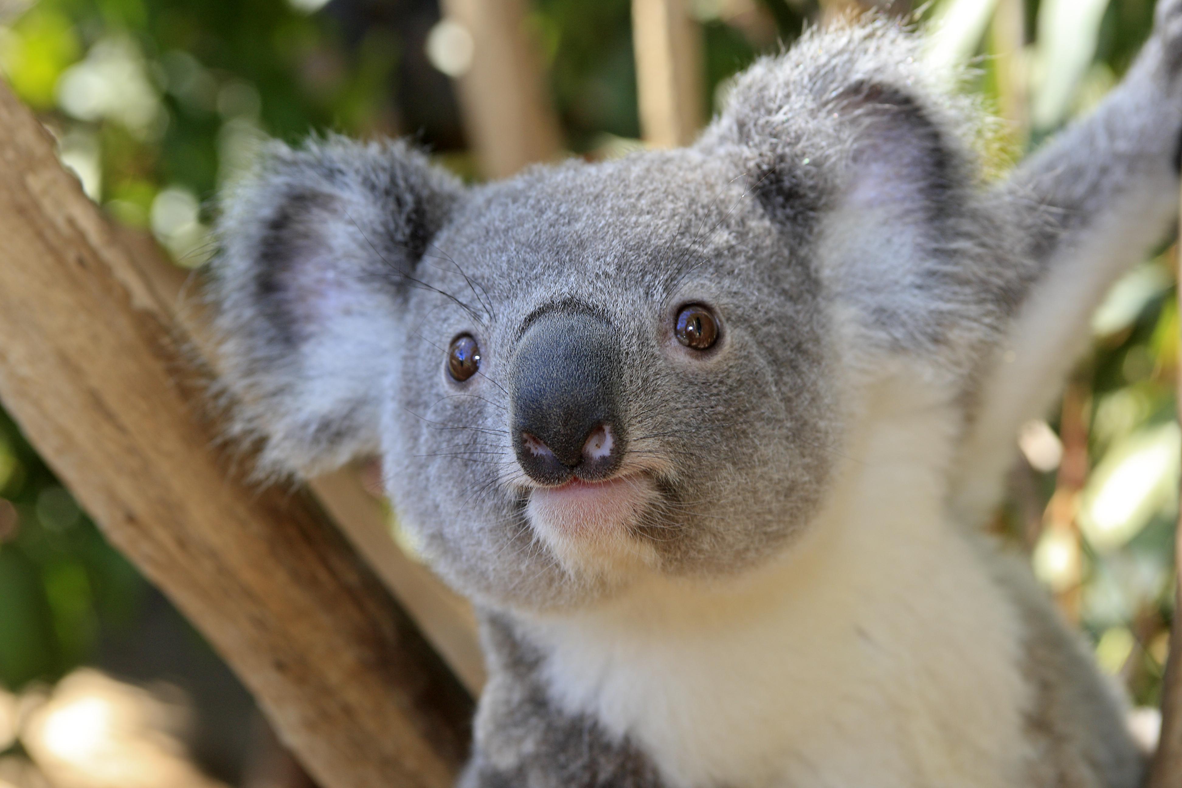 Tömegkarambolt okozott egy koala