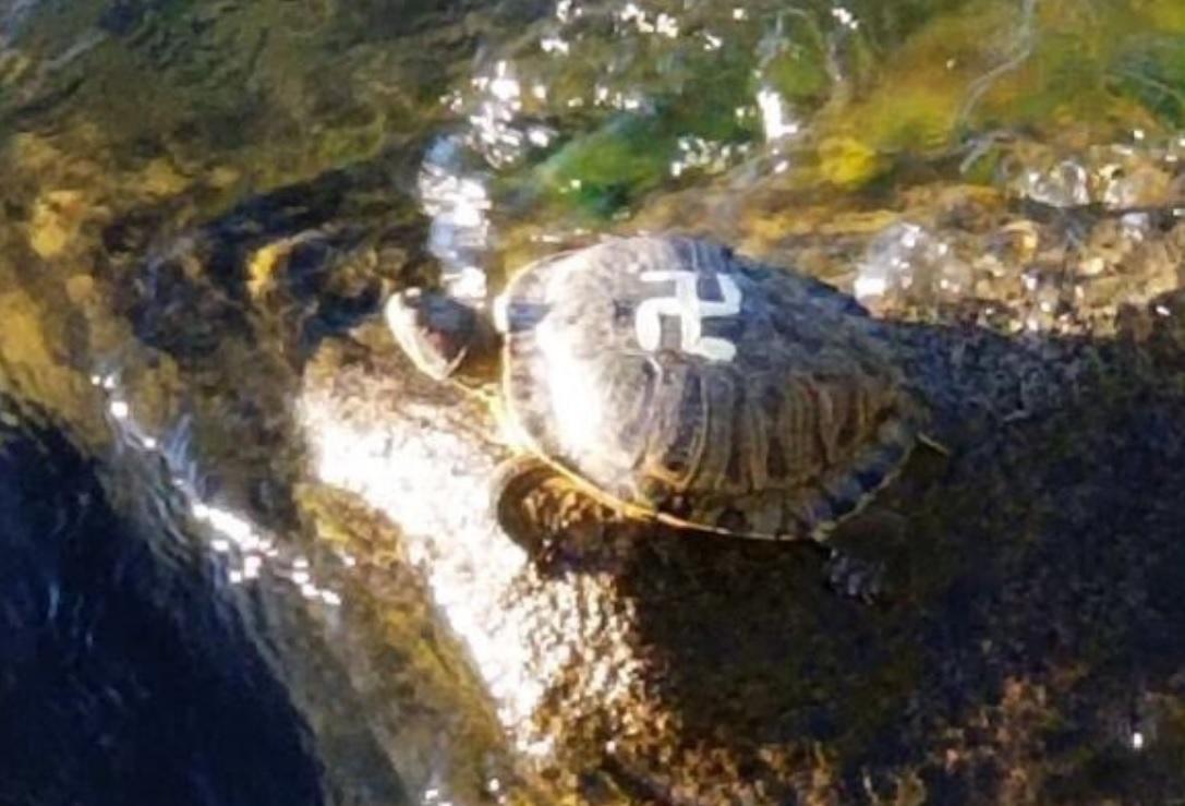 Horogkeresztes teknősök kóborolnak egy washingtoni parkban