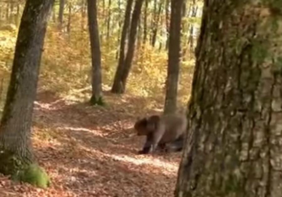 Túl békésen videózgatta a nagykárolyi vadász a medvét, végül persze rátámadt