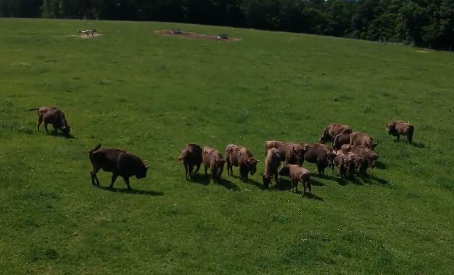 Bölényeket telepítettek az Őrségbe