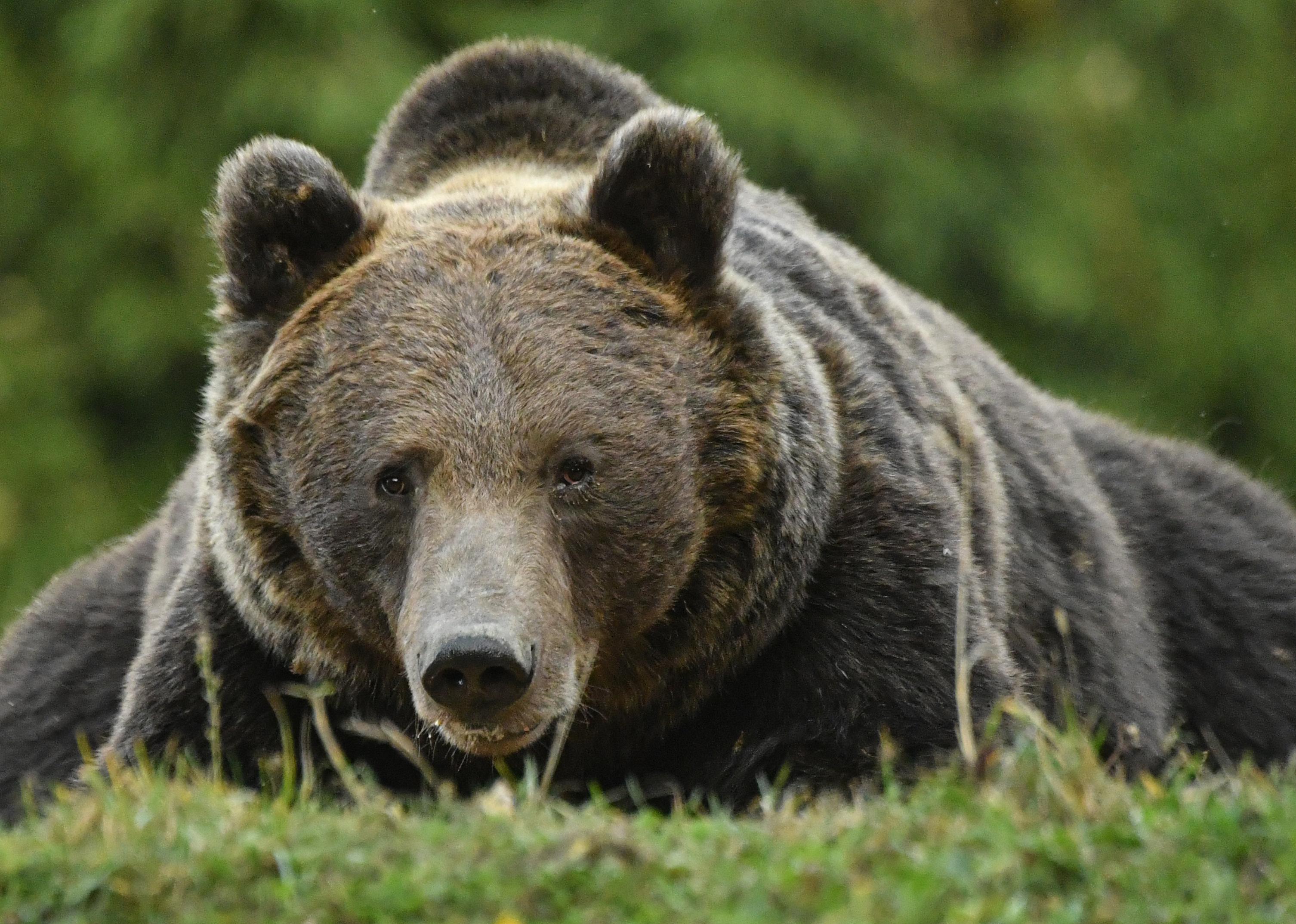 Ezúttal egy nyolcéves gyereket támadott meg egy medve Háromszéken