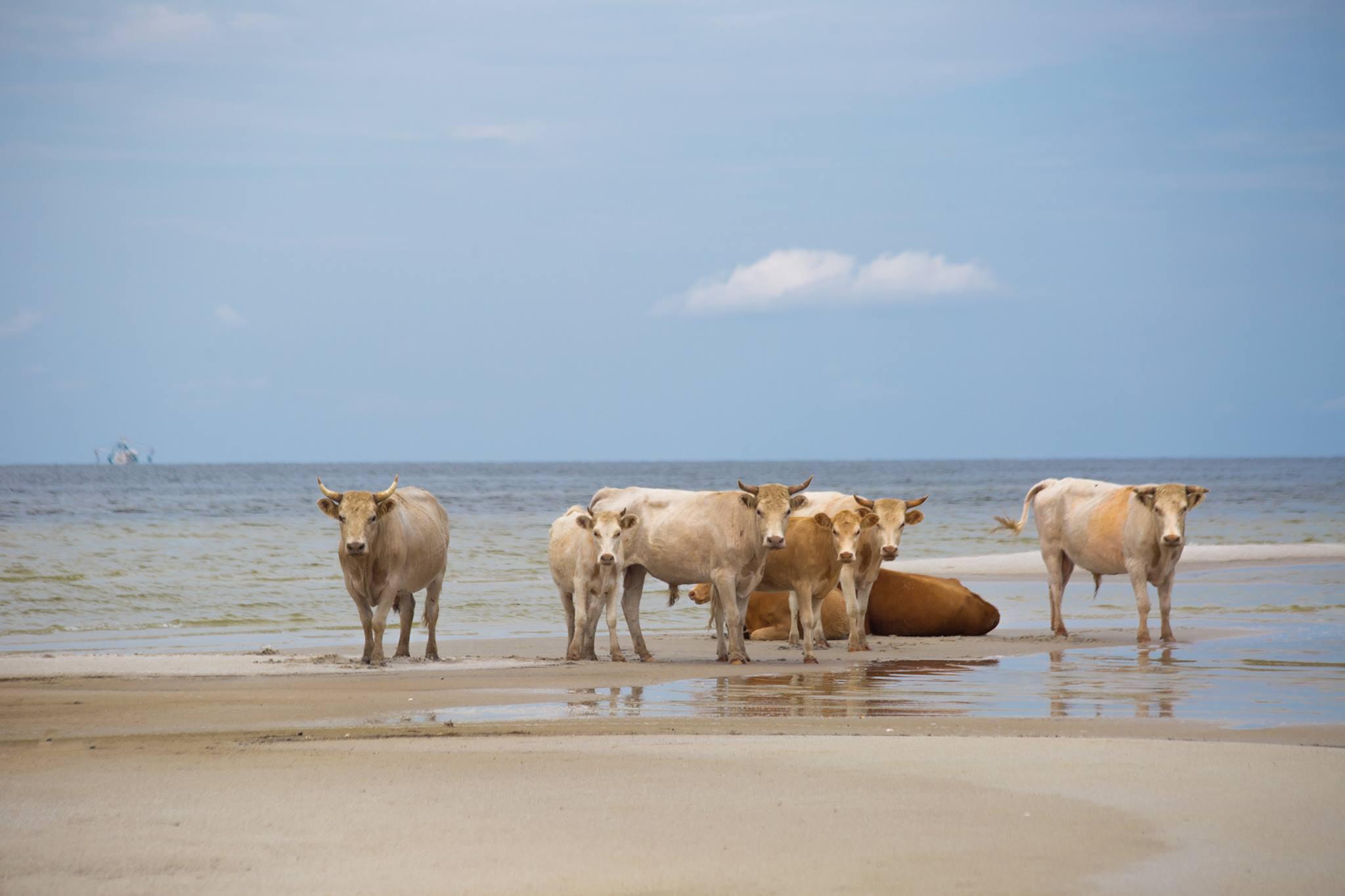 Elsodorta a marhákat a Dorian hurrikán, egy hónap múlva találták meg őket, kilométerekkel arrébb, egy szigeten