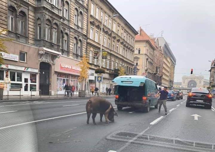 Lefotózták a sertést a Rákóczi úton a Puskás Stadion felé