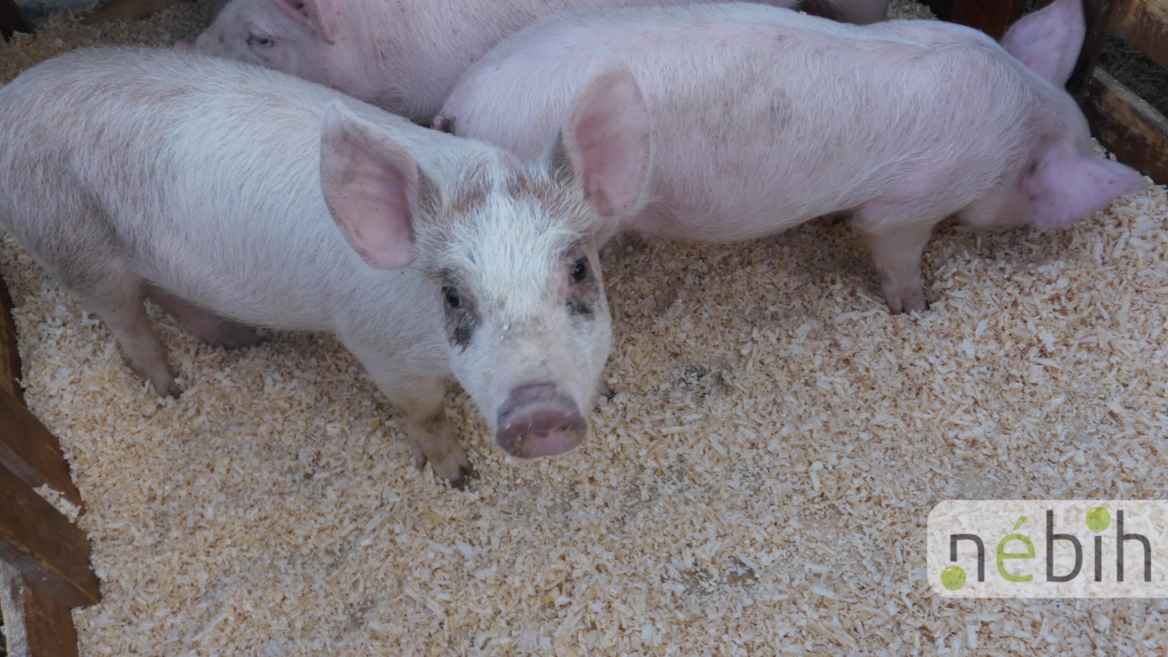 Lecsaptak a szekszárdi állatvásárra: 104 sertésből száz nem volt lepapírozva