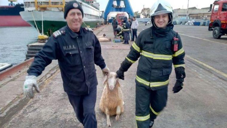 Majdnem 15 ezer élő birkával a fedélzetén borult fel egy hajó egy román kikötőben