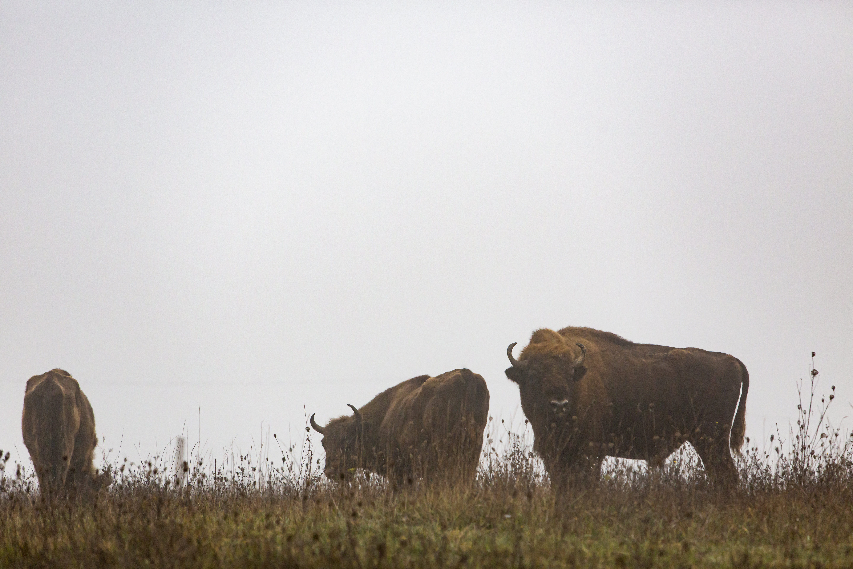 Bölényeket telepítettek az Őrségi Nemzeti Parkba
