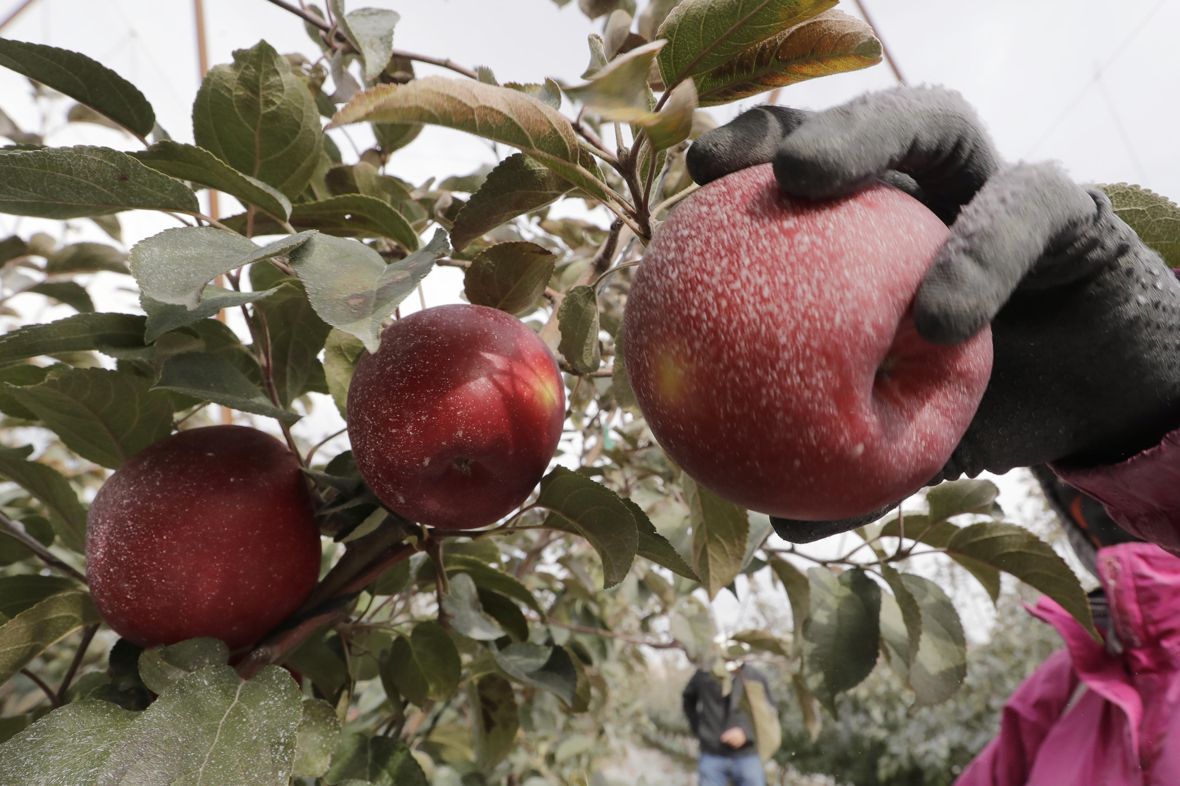 Olyan almafajtát nemesítettek, ami egy évig is friss marad