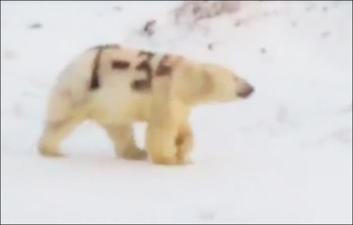 Valaki felfestette egy orosz jegesmedve bundájára, hogy T-34