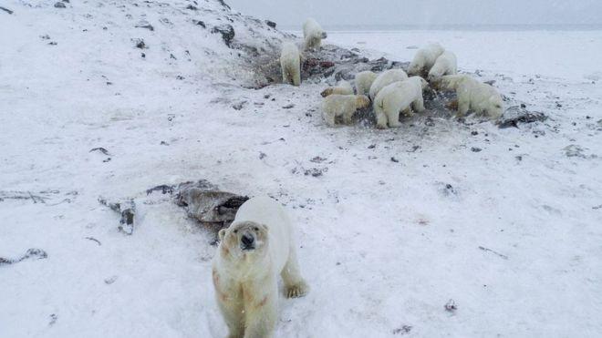 Nő a kannibalizmus a jegesmedvék között