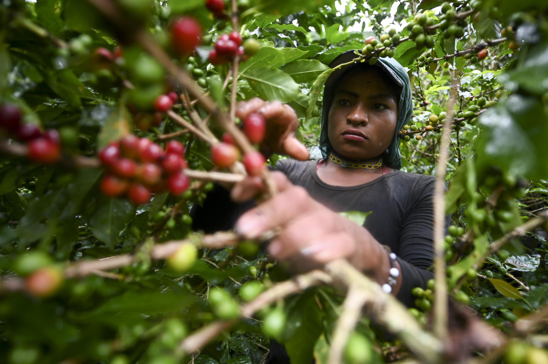 Kávéhiány lehet jövőre, drágulhat a fekete