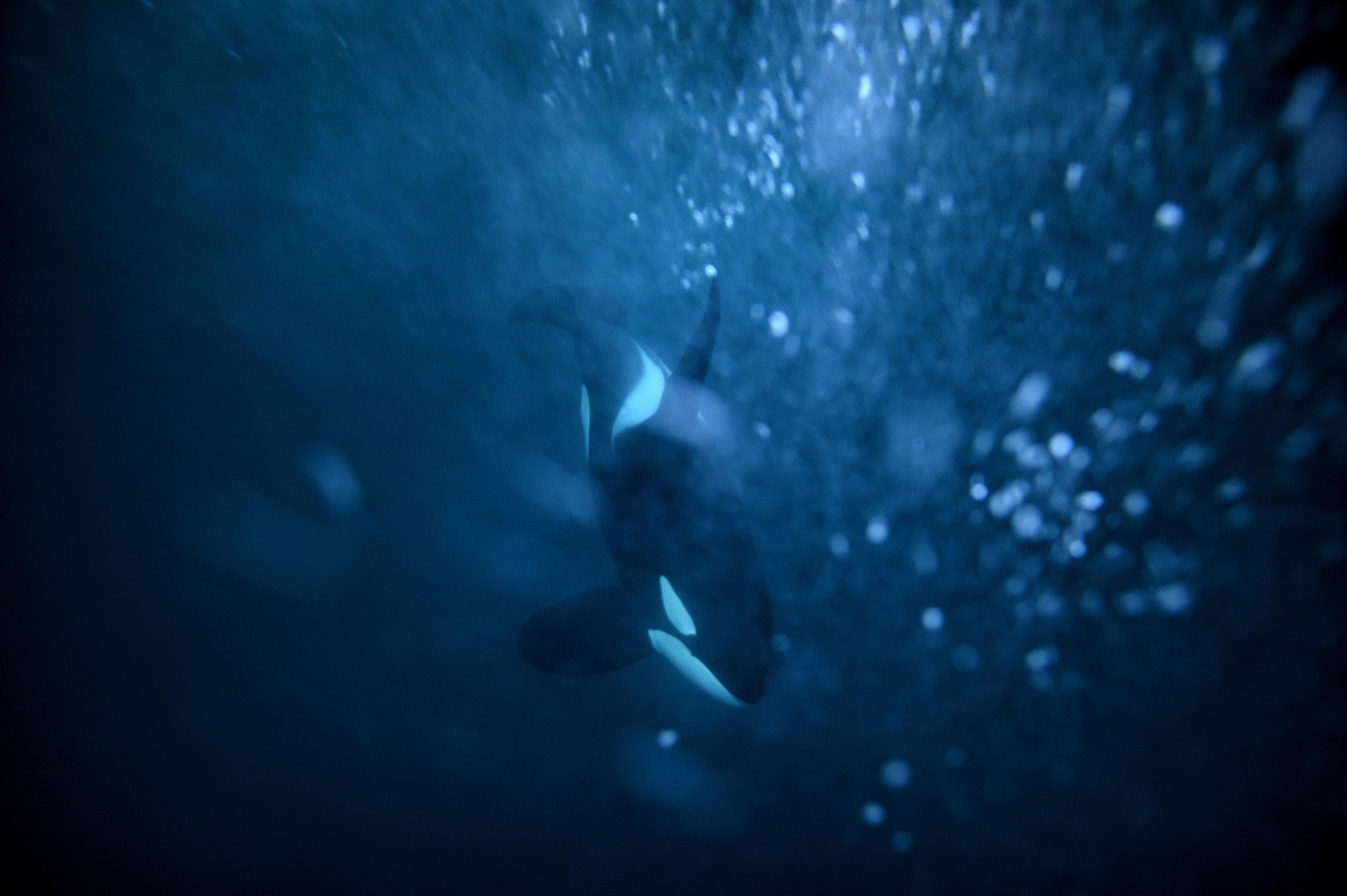 Orkák üldözhették el a fehér cápákat Fokváros vizeiből