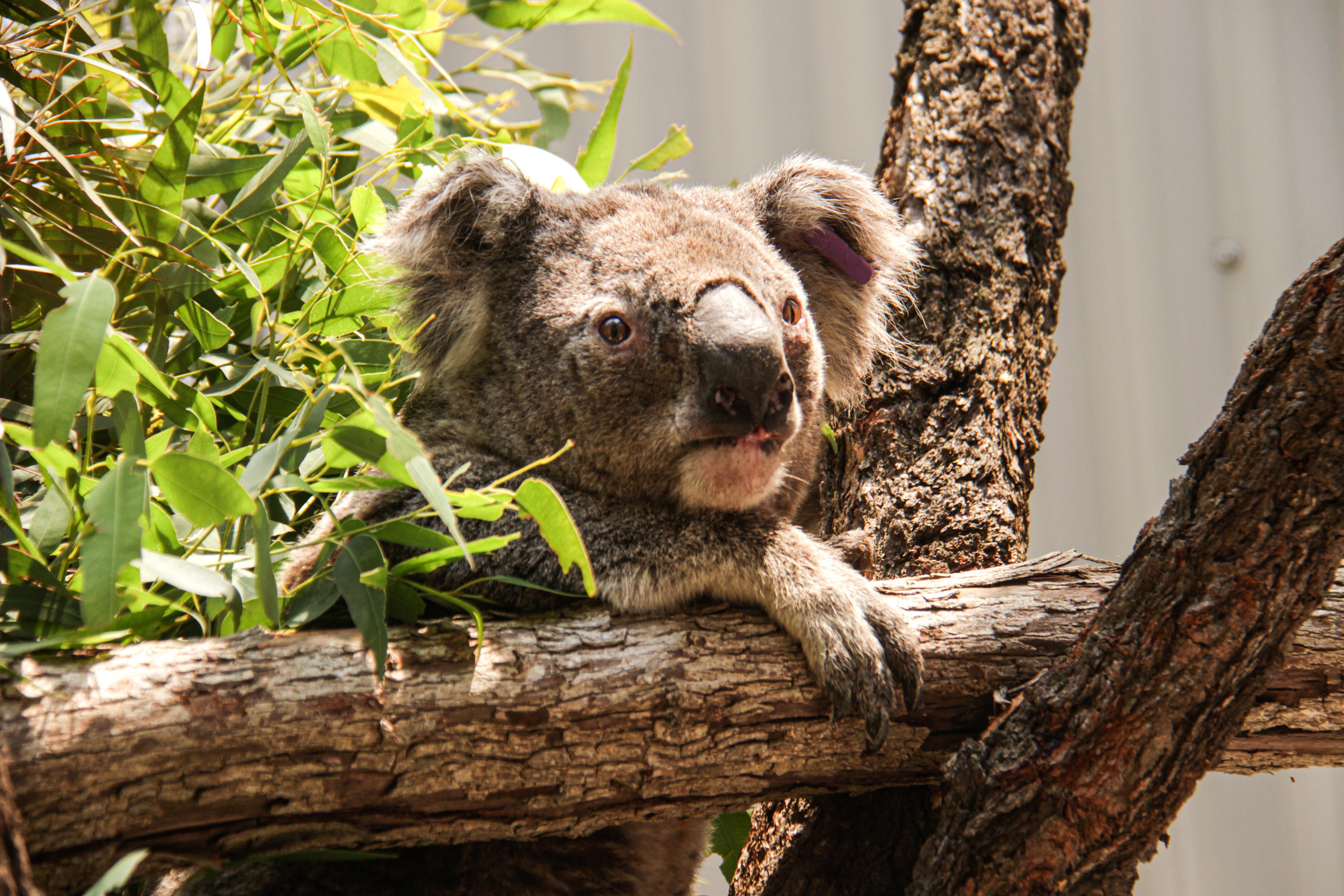 Az erdőtűzzel érintett állam koaláinak 30 százaléka pusztulhatott el Ausztráliában