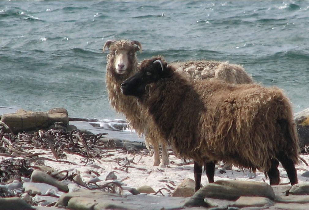 A világvégi skót sziget hínáron élő birkái mutathatják az utat egy zöldebb állattartás felé