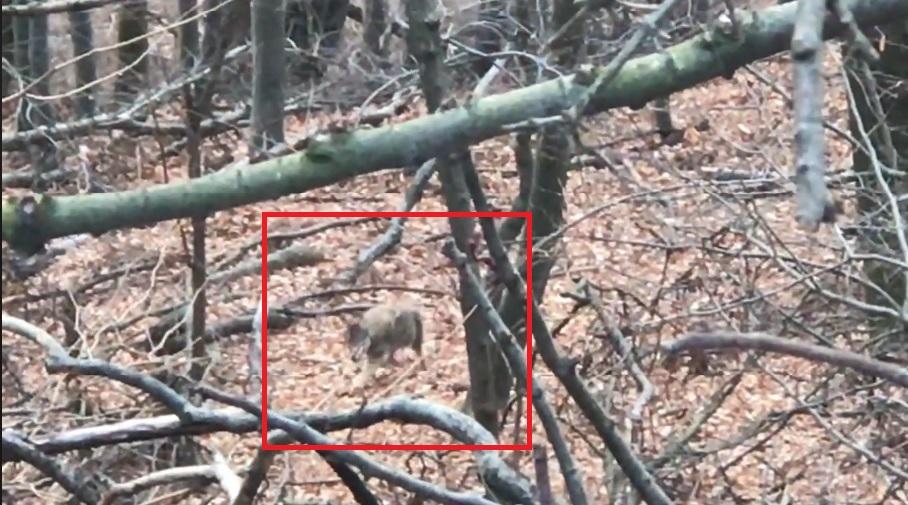 Egy kirándulónak sikerült lefilmeznie egy farkasfalkát a Bükkben