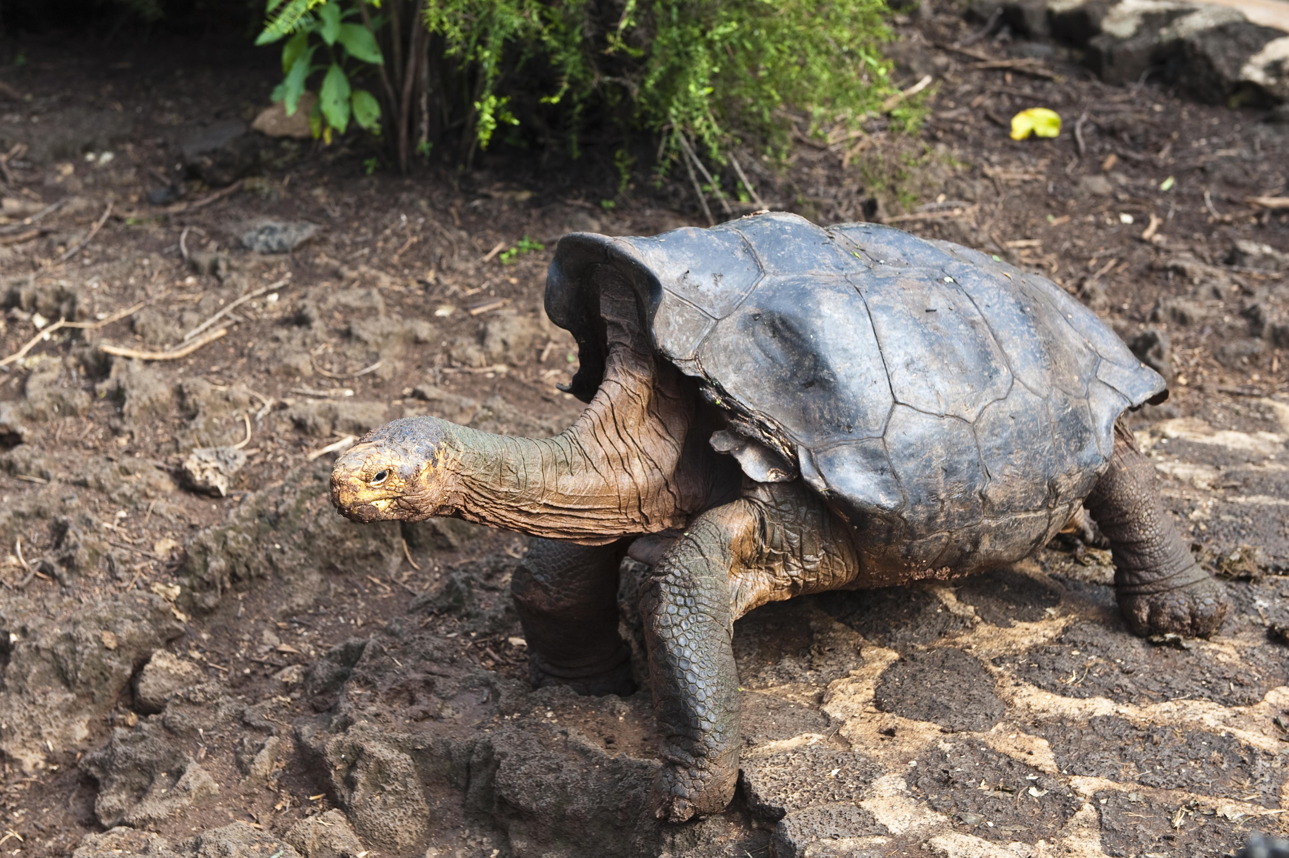 Megmentette faját a kihalástól, visszakapja szabadságát Diego, a kanos óriásteknős