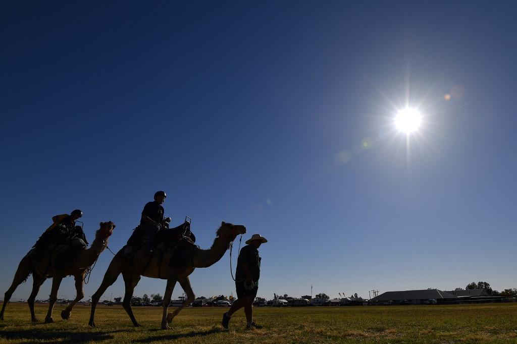 Ötezer tevét lőttek ki Ausztráliában az aszály miatt