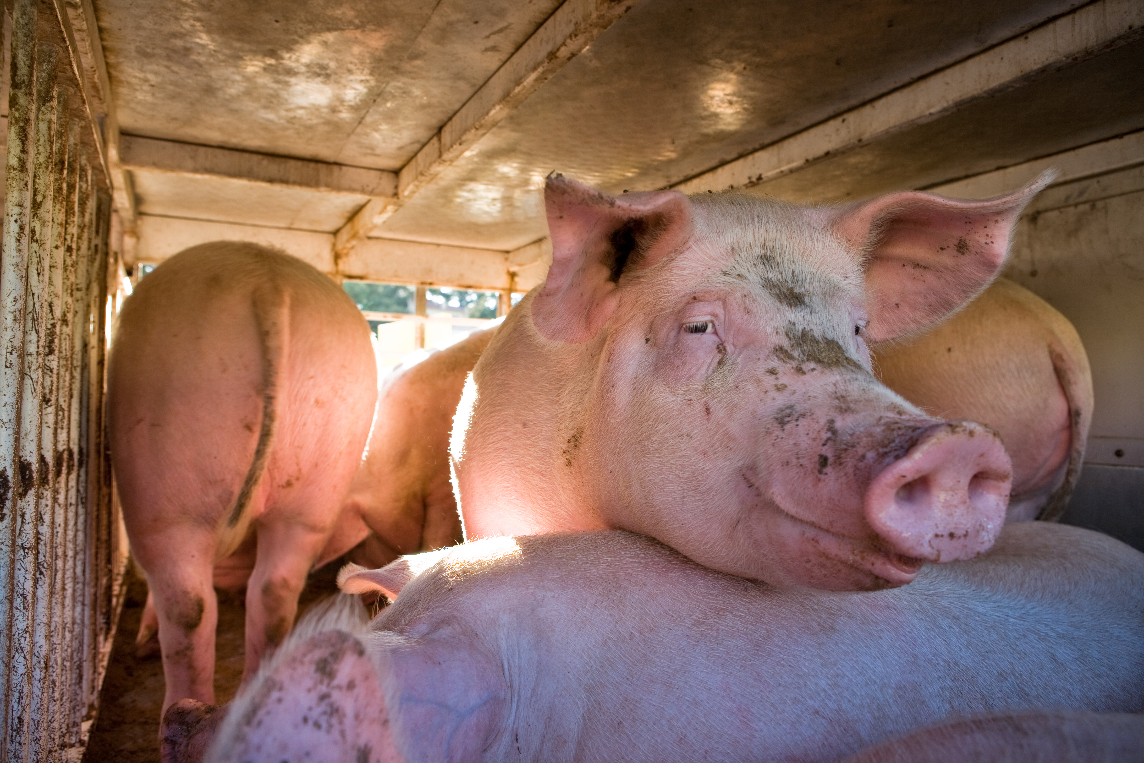 Lépésszámlálót szereltek a disznóra, levette, egy másik megette, kiszarta, kigyulladt a tanya