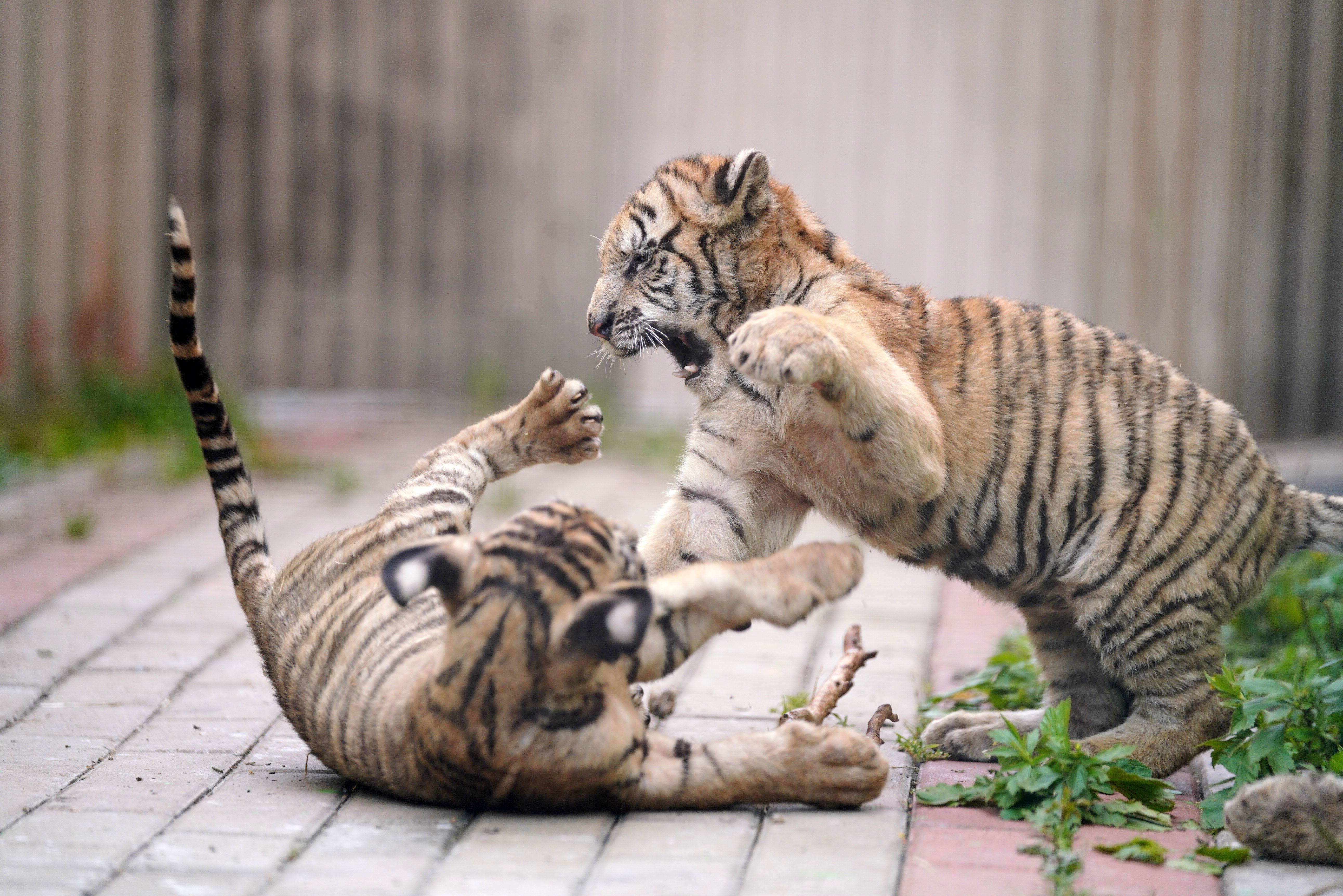 100 szibériai tigris született 2019-ben a világ legnagyobb tenyészközpontjában