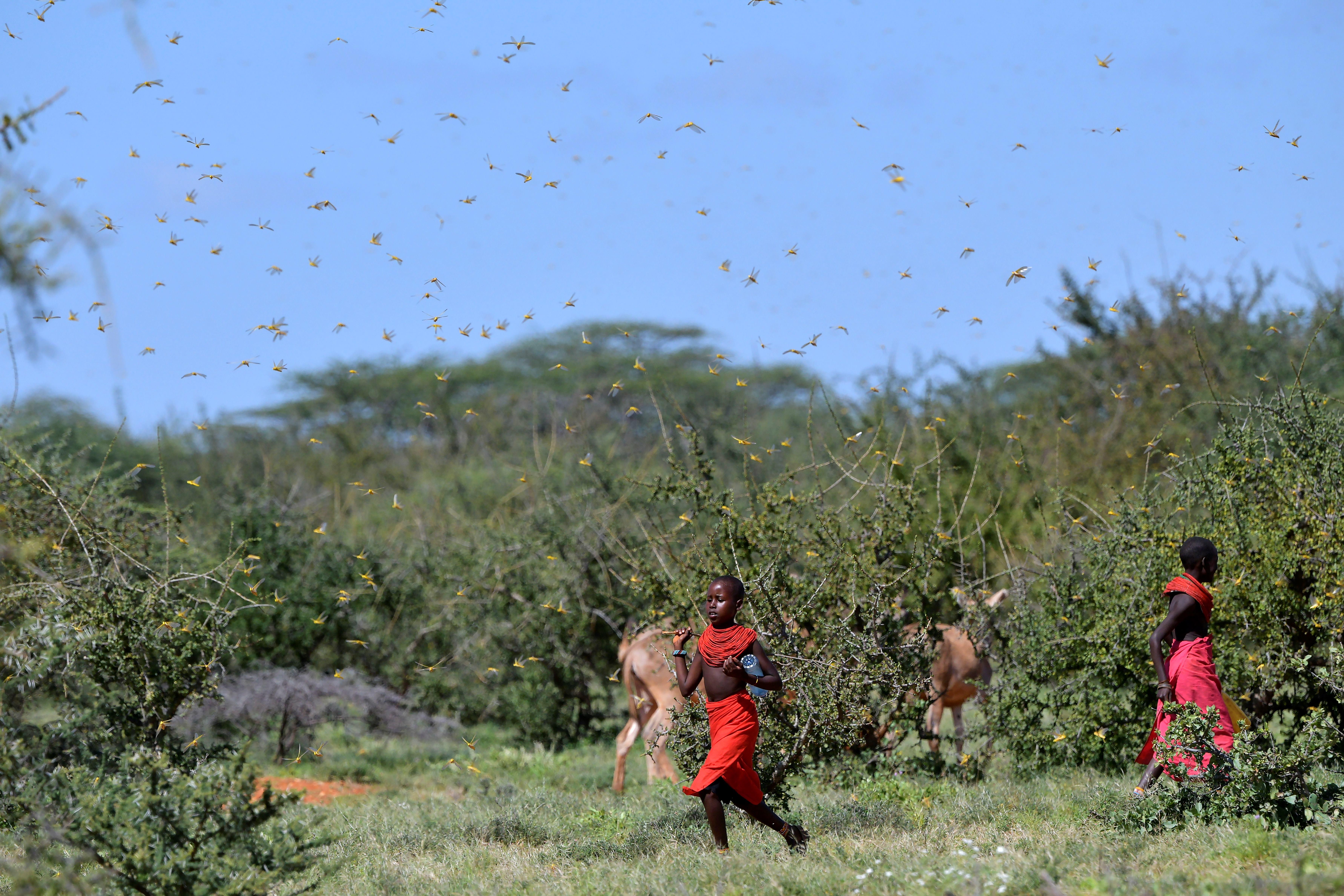 Nem sikerül megfékezni a Kelet-Afrikában pusztító sáskajárást