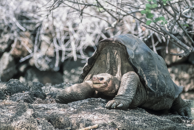 Kihaltnak hitt óriásteknősök  közvetlen leszármazottai kerültek elő