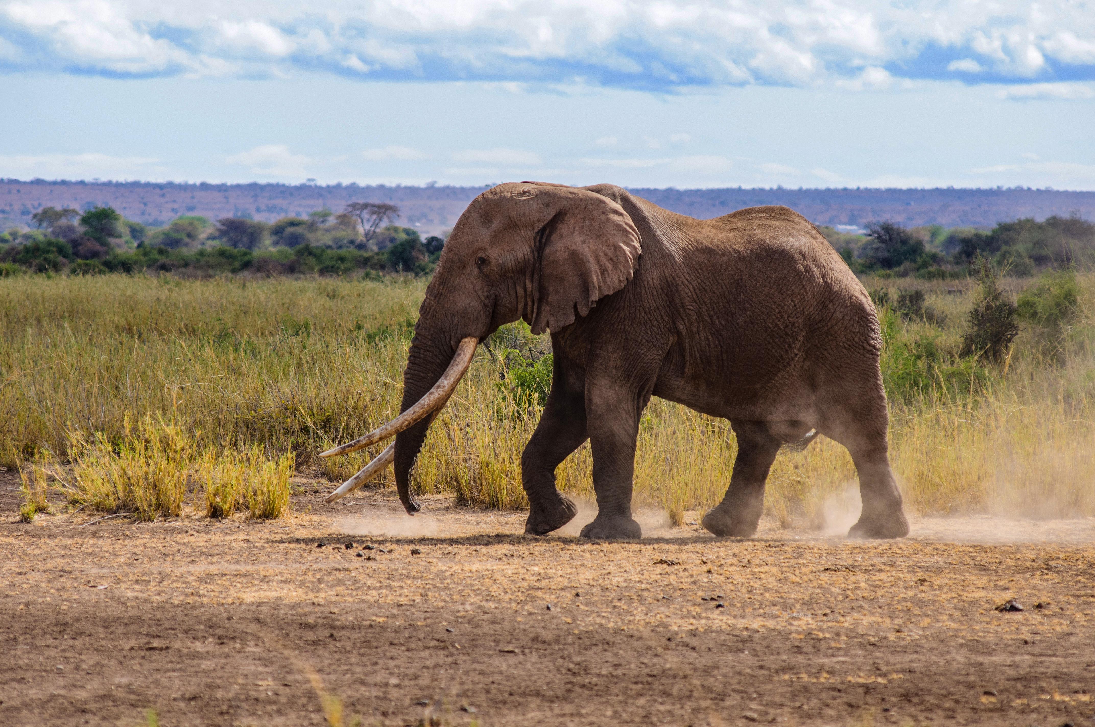 Elpusztult Nagy Tim, az egyik utolsó óriásagyarú afrikai elefánt