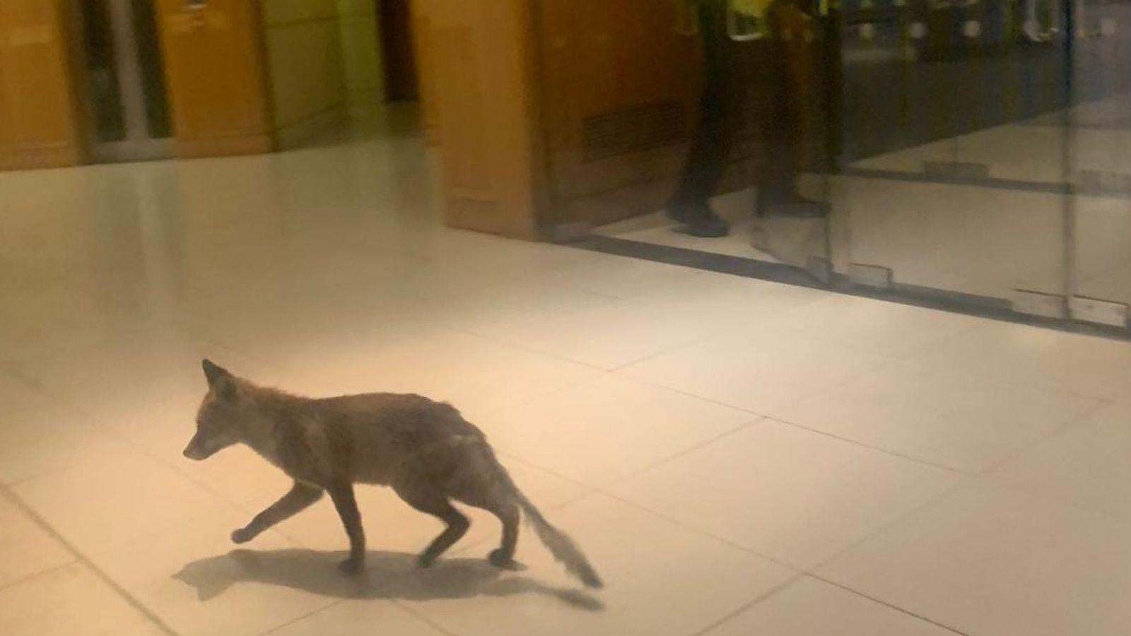 Beszökött egy róka a brit parlamentbe, mozgólépcsőzött egy jót, odakakált, aztán fogták és kizsuppolták az utcára